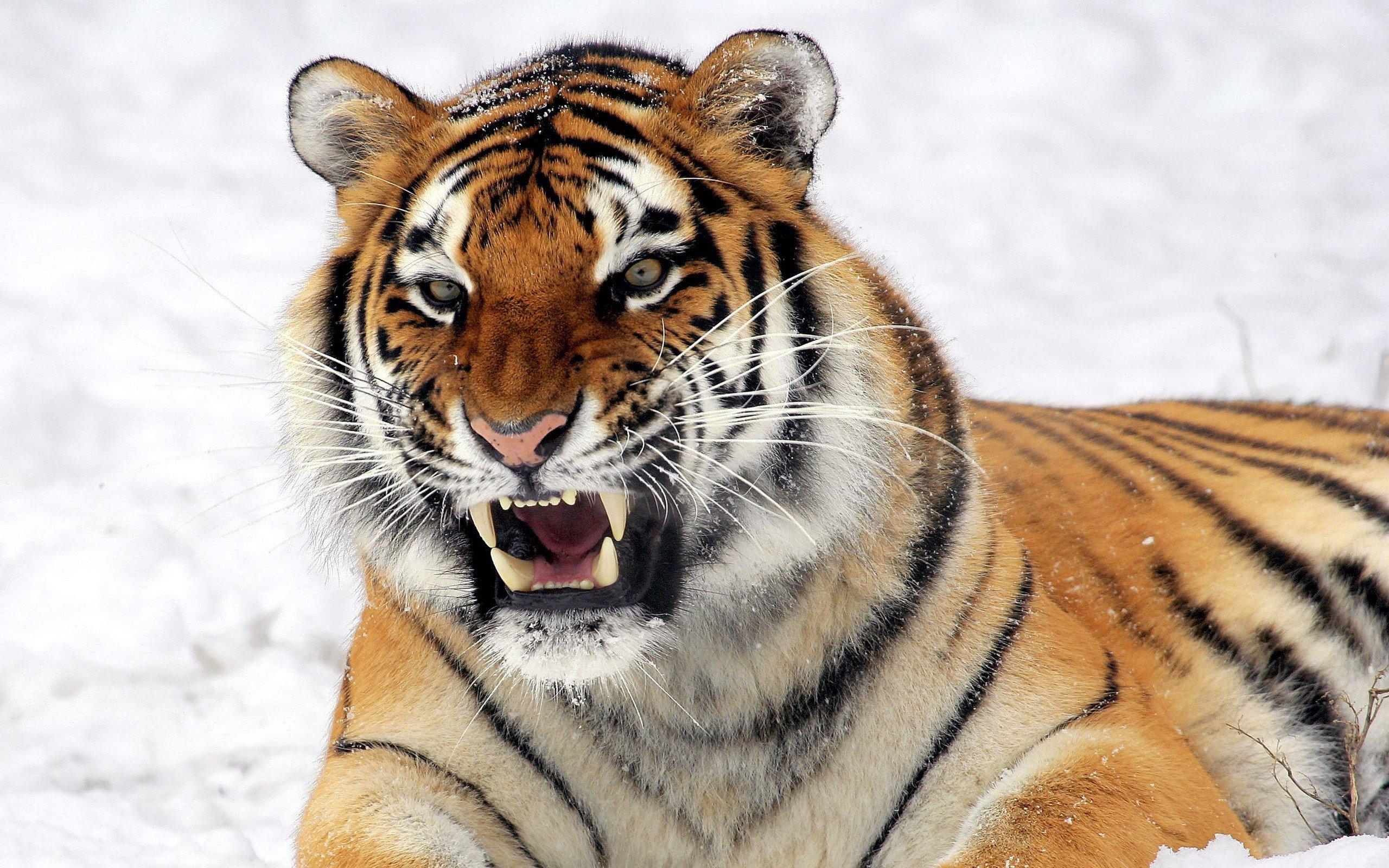 La población mundial de tigres aumentó por primera vez