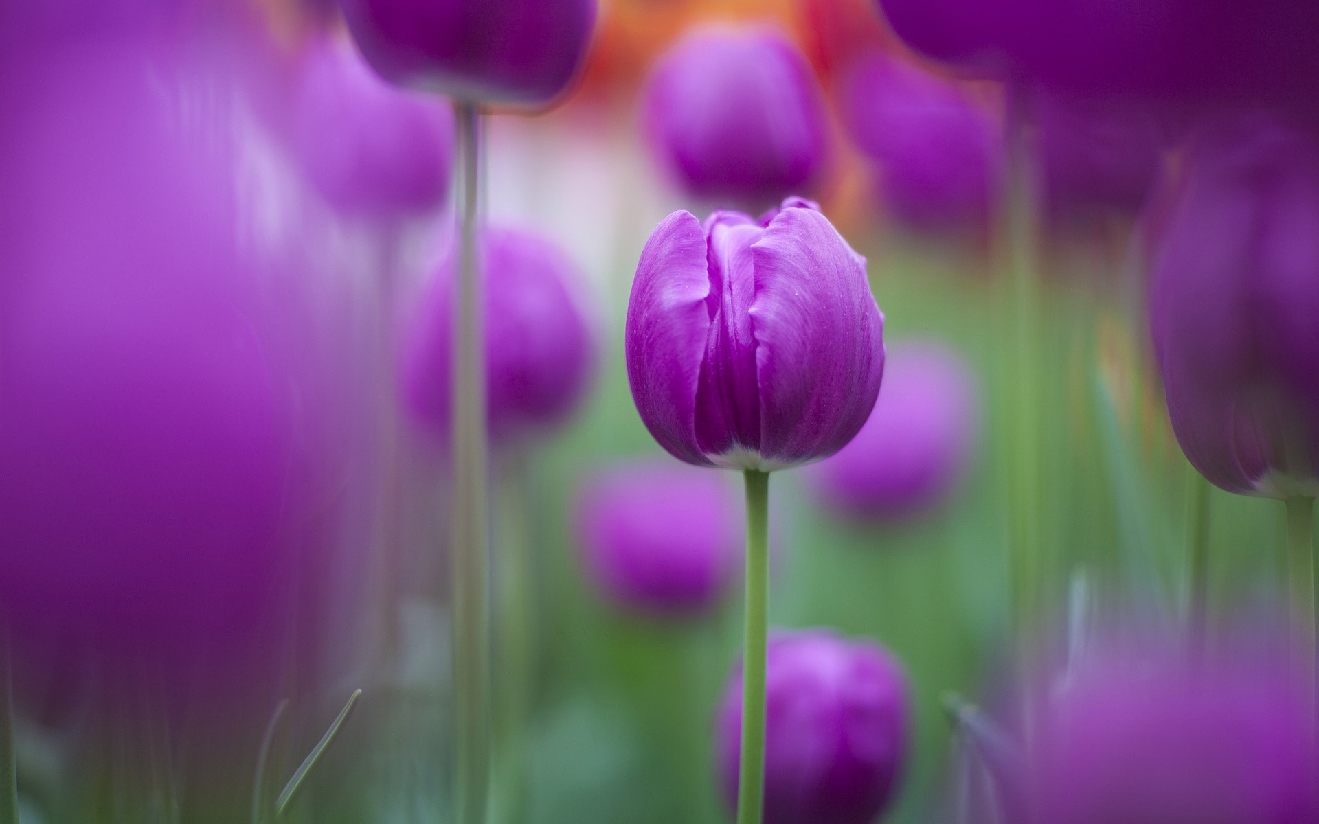 Fondos de pantalla Tulipanes morados