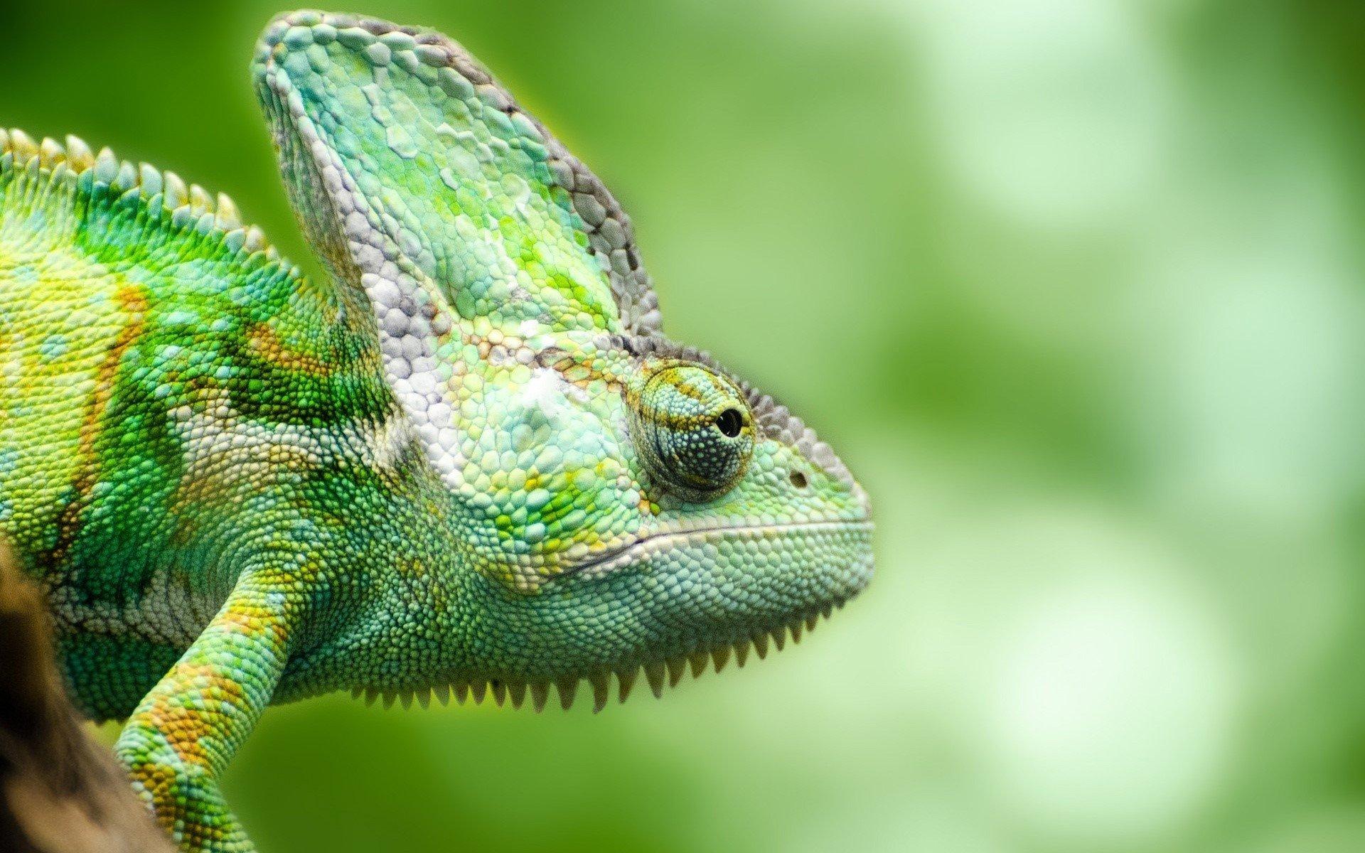 Fondo de pantalla de Un camaleón en el bosque Imágenes