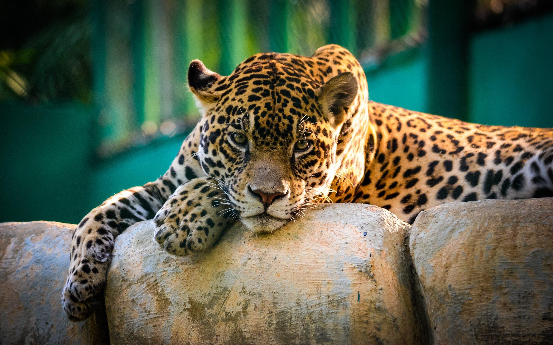 Wallpaper A jaguar in Mexico