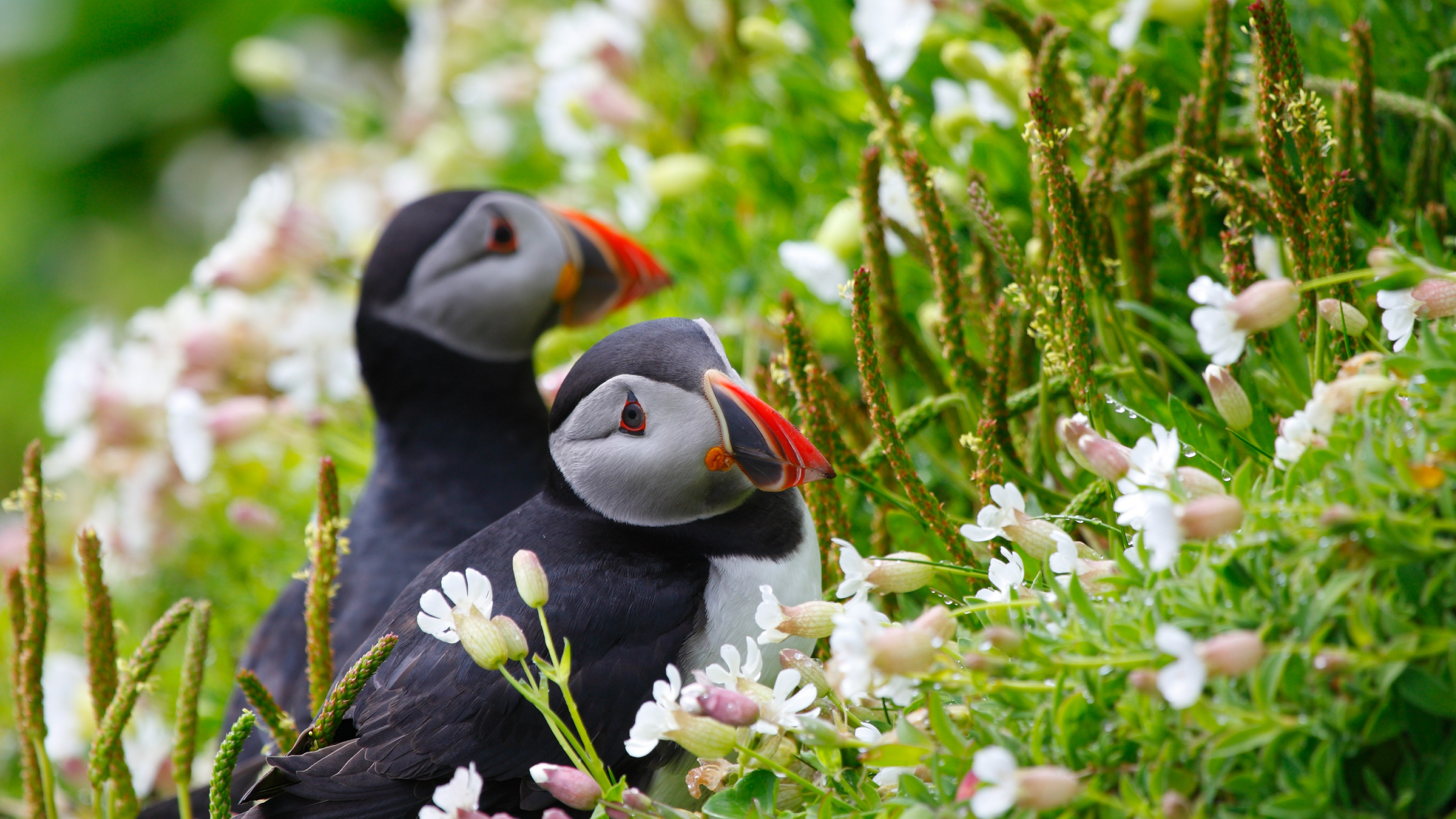 Wallpaper Puffin Couple