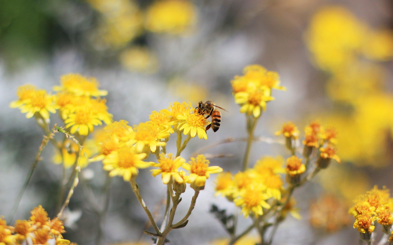 Fondos de pantalla Una abeja en un jardín