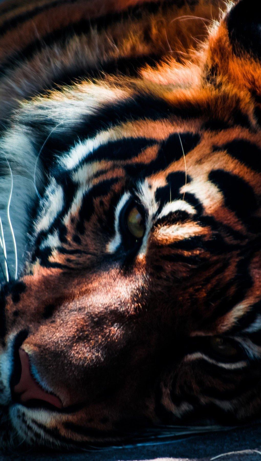 Fondos de pantalla Acercamieto a un tigre Vertical