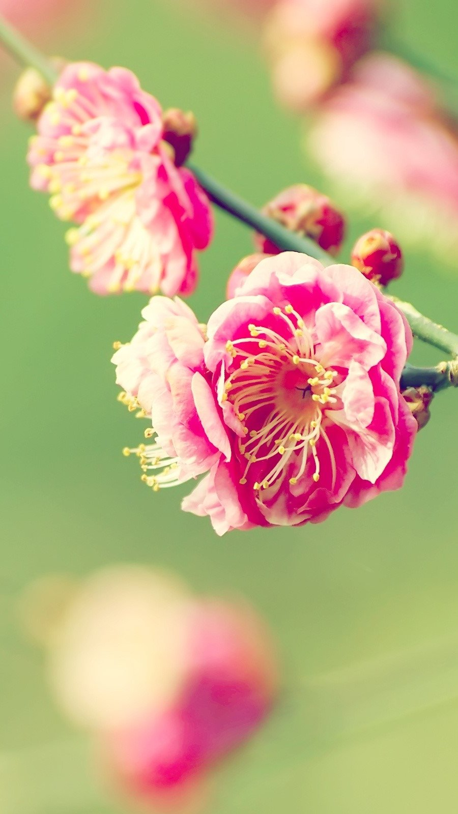 Wallpaper Japanese apricot Vertical