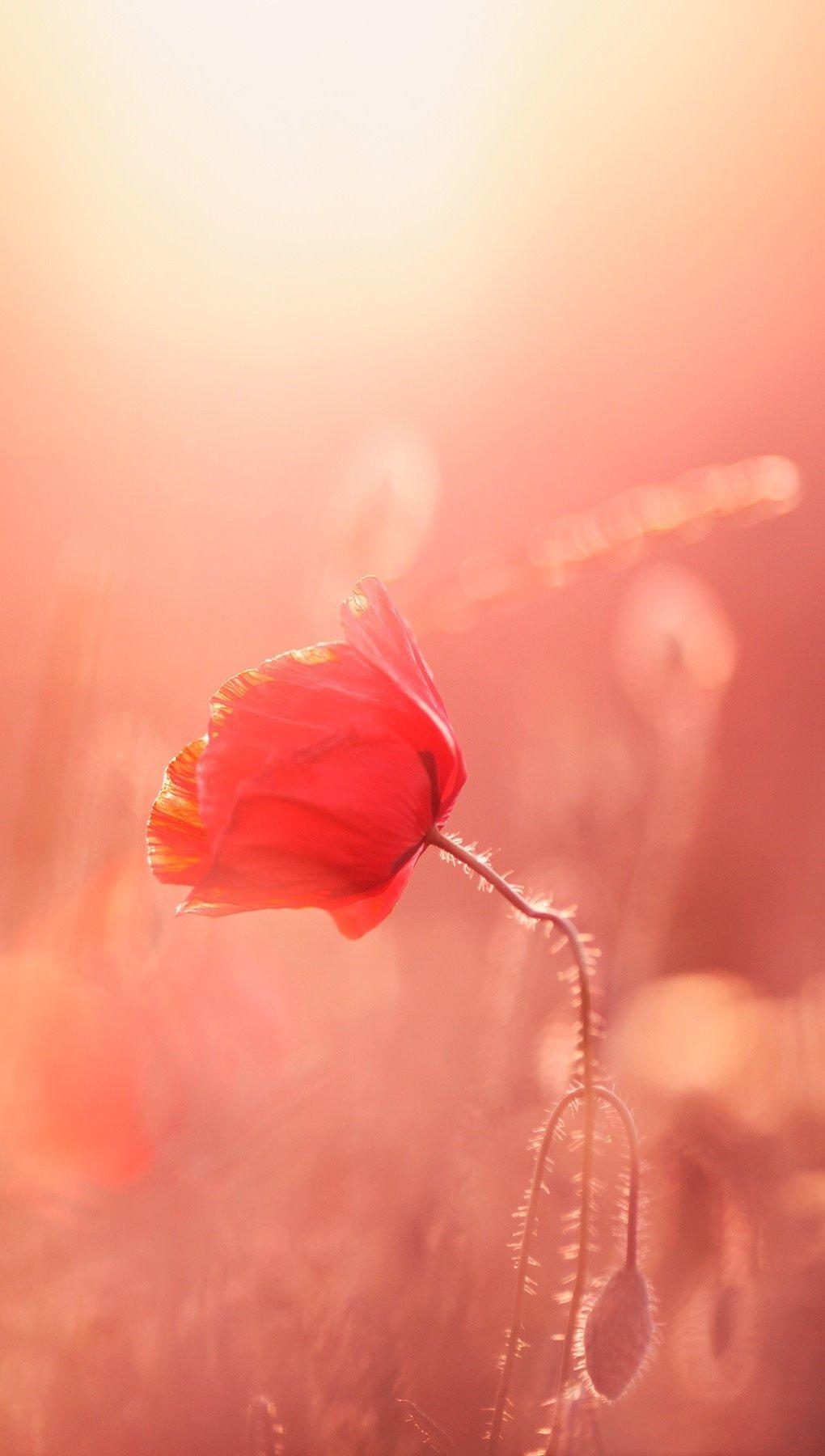 Wallpaper Poppies in the sunlight Vertical