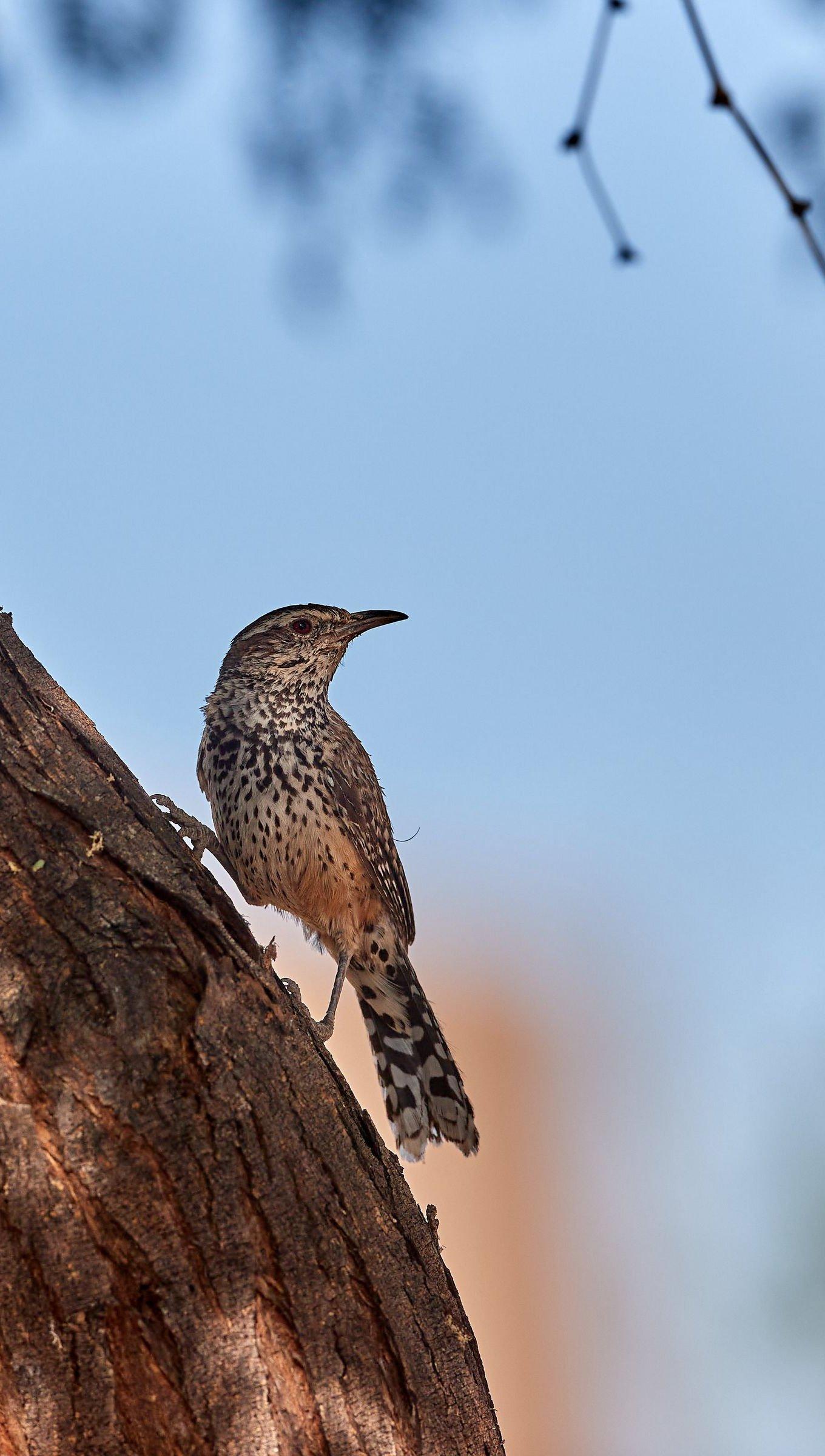 Wallpaper Thrush bird on tree Vertical