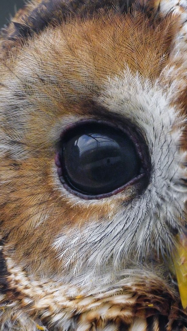 Wallpaper Owl watching Vertical