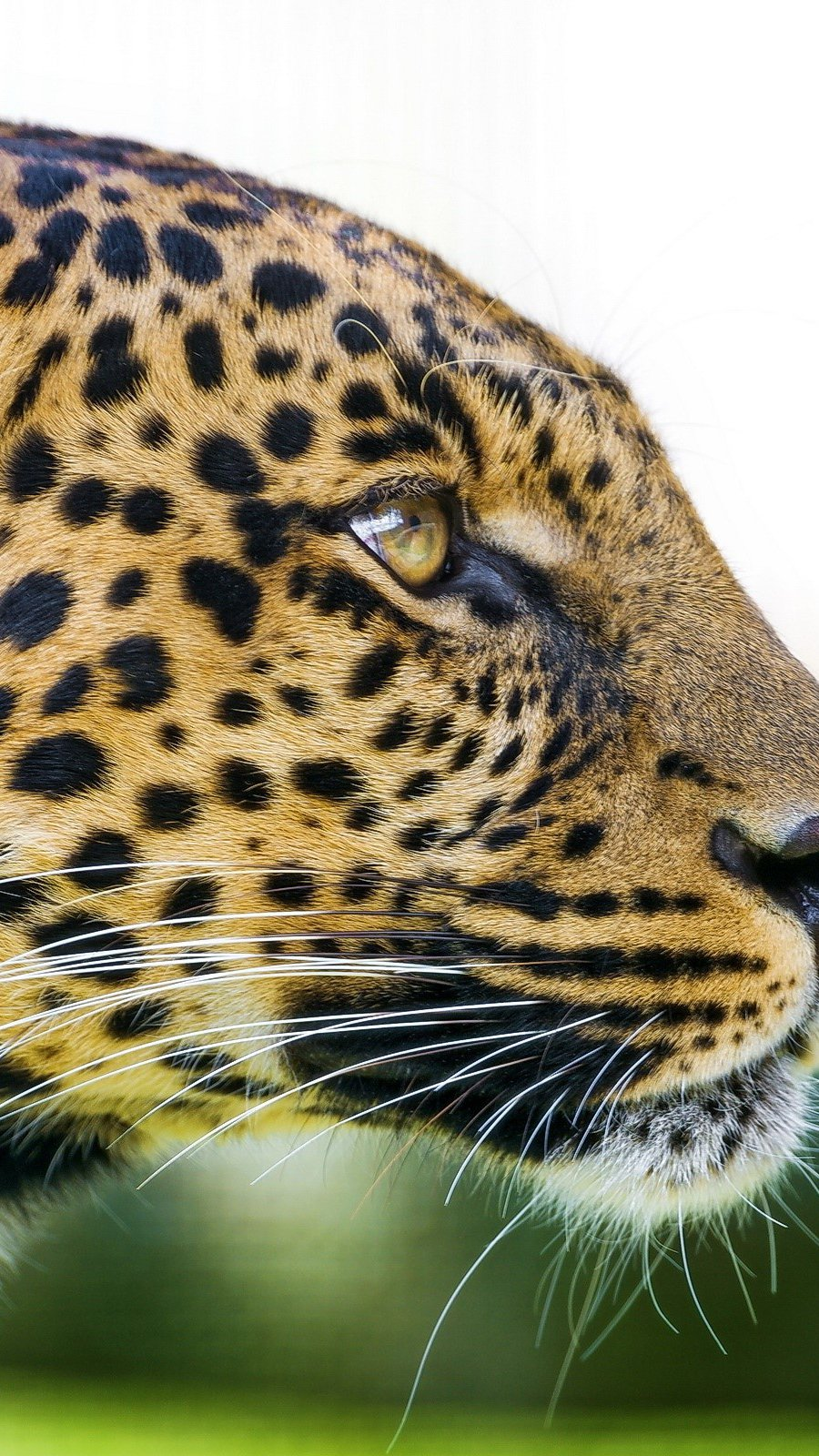 Fondos de pantalla Cabeza de un leopardo Vertical