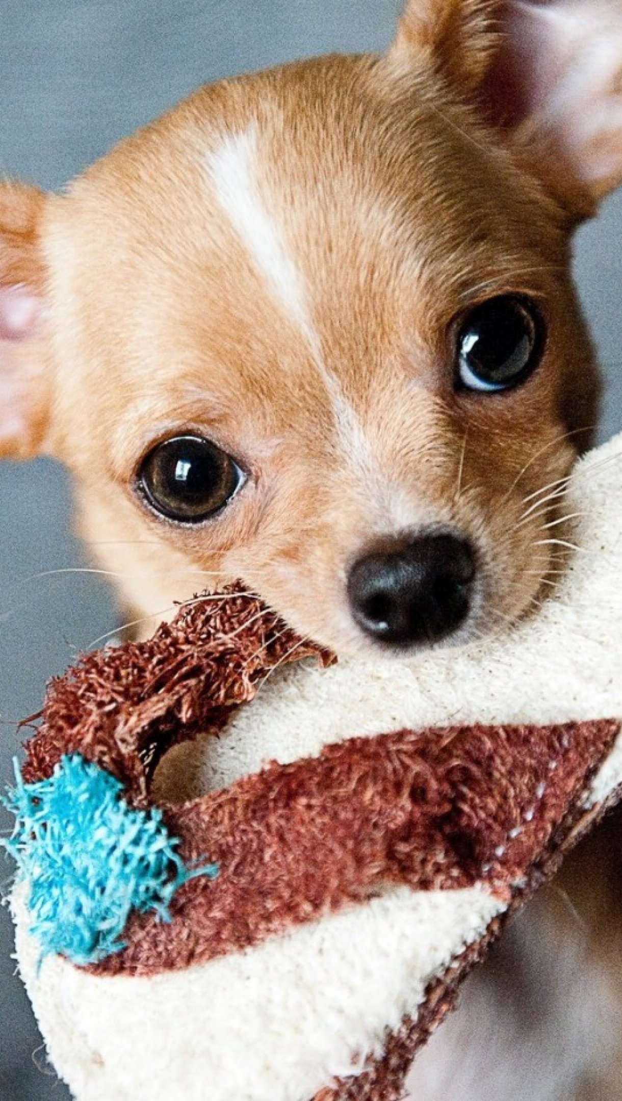 Fondos de pantalla Cachorro Chihuahua Vertical