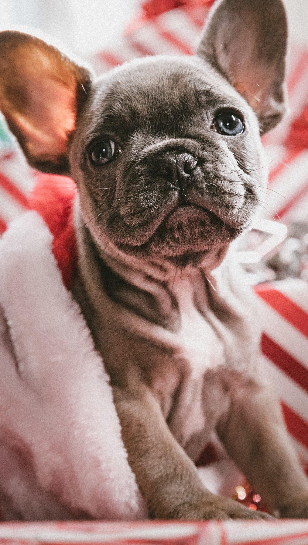 Wallpaper Puppy celebrating Christmas Vertical