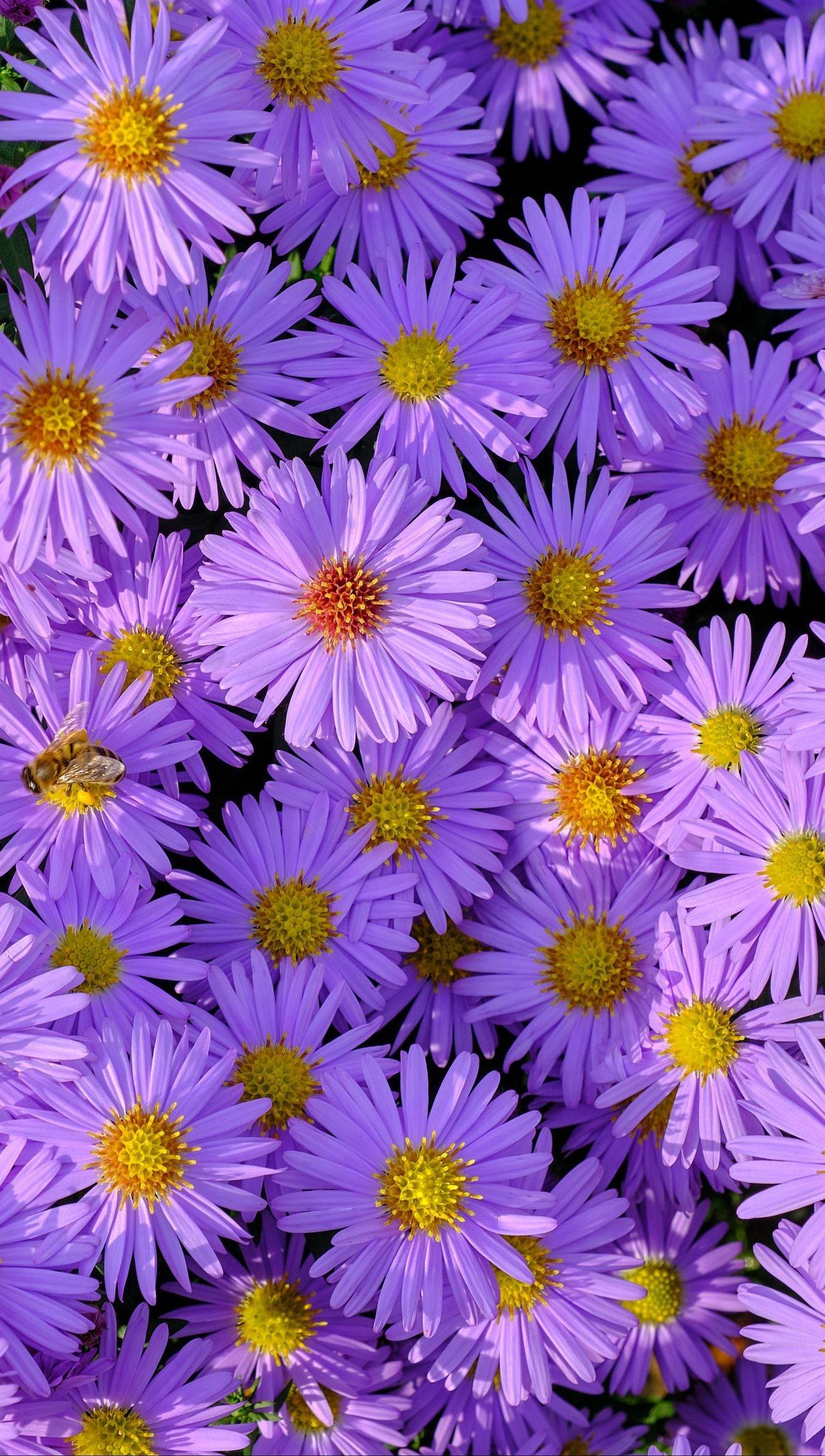 Fondos de pantalla Campo de flores moradas Vertical