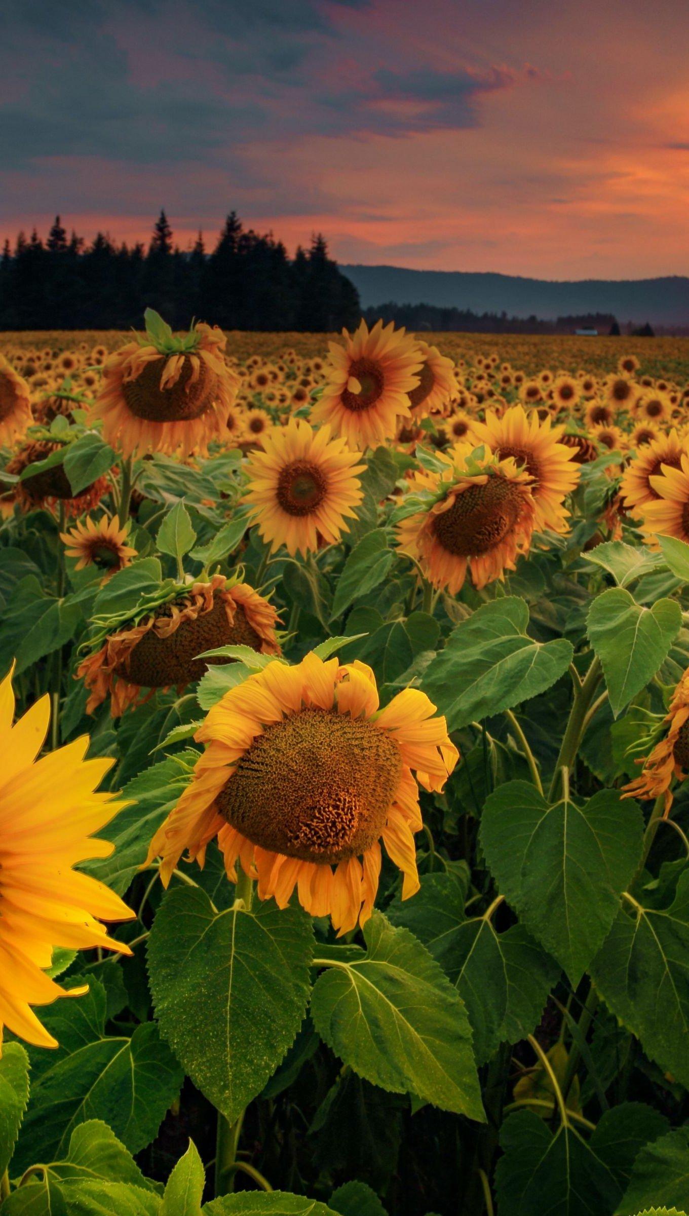 Wallpaper Sunflower Field at sunset Vertical