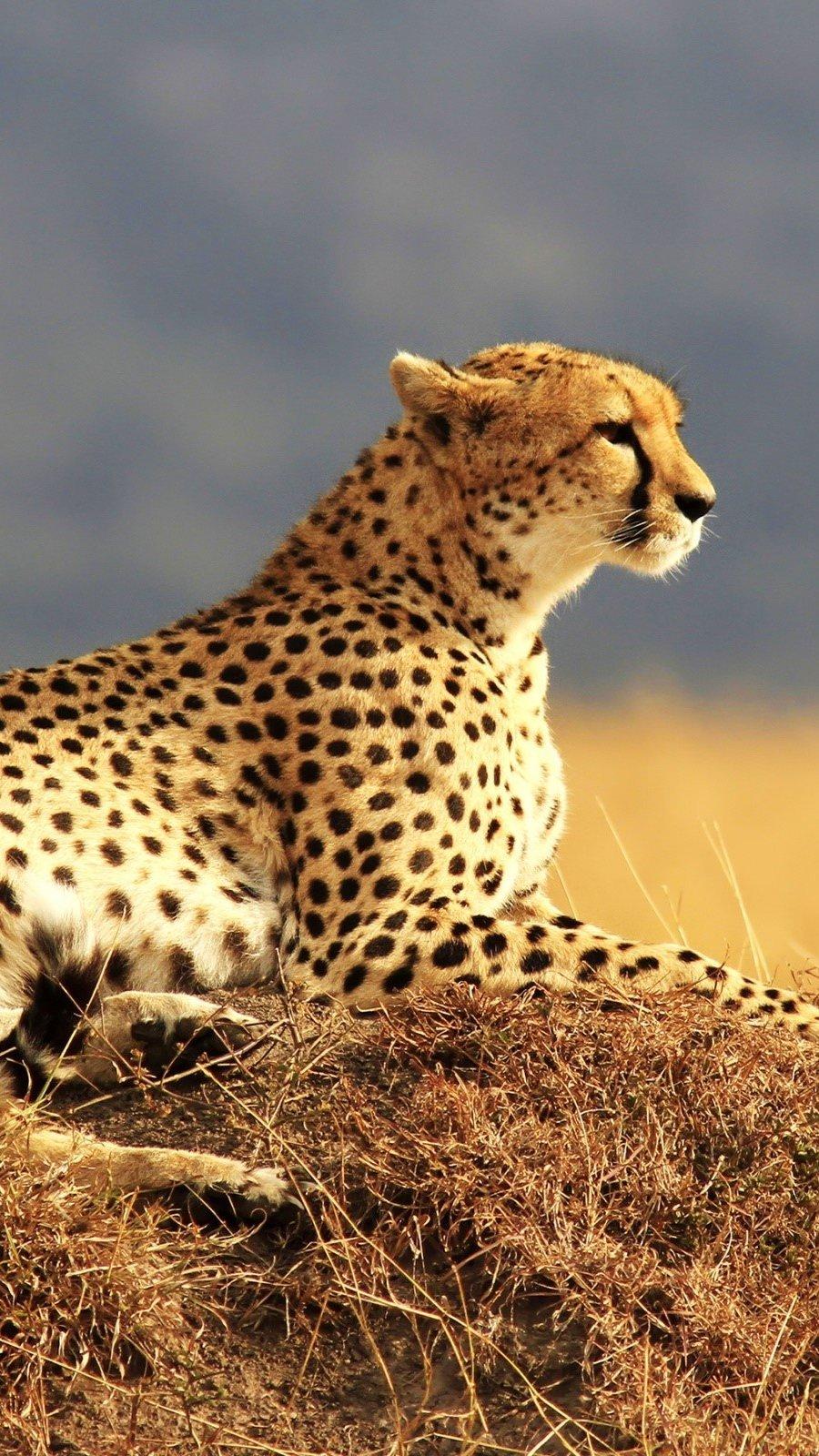 Fondos de pantalla Chita en Africa Vertical