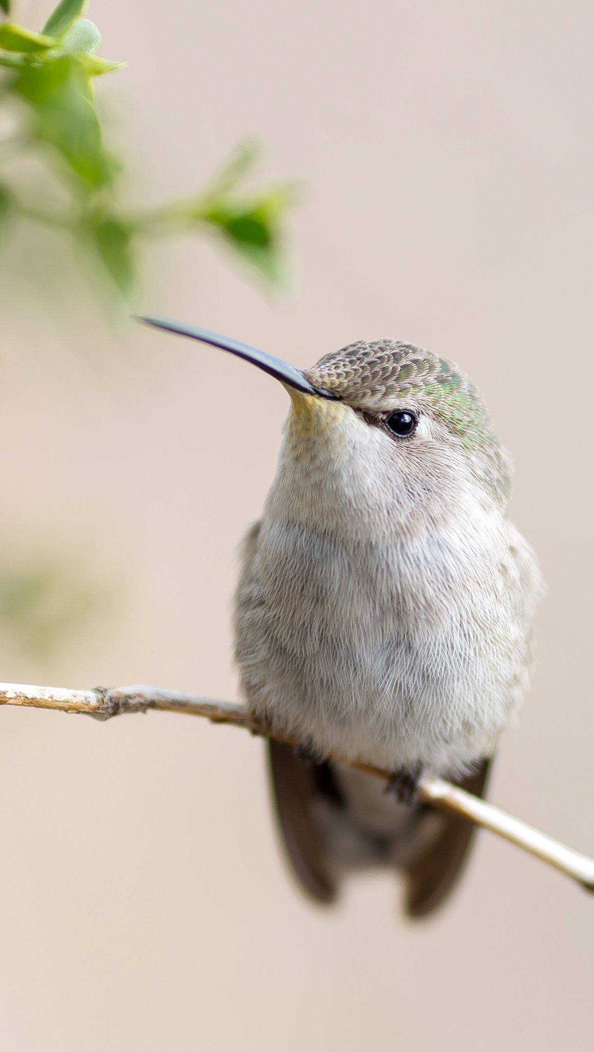 Wallpaper Hummingbird in a branch Vertical
