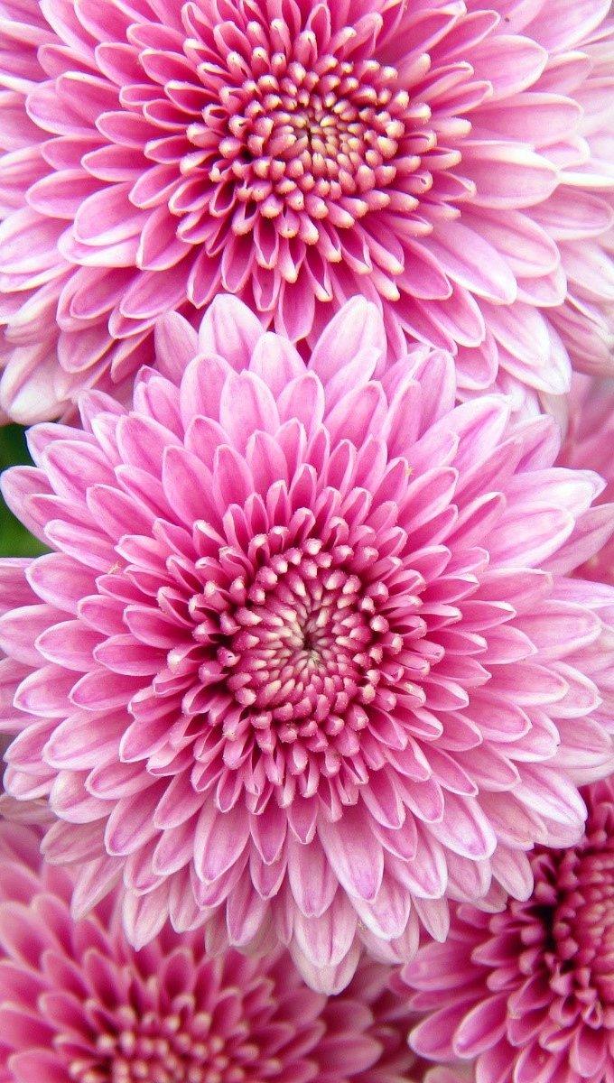 Wallpaper Chrysanthemums Vertical