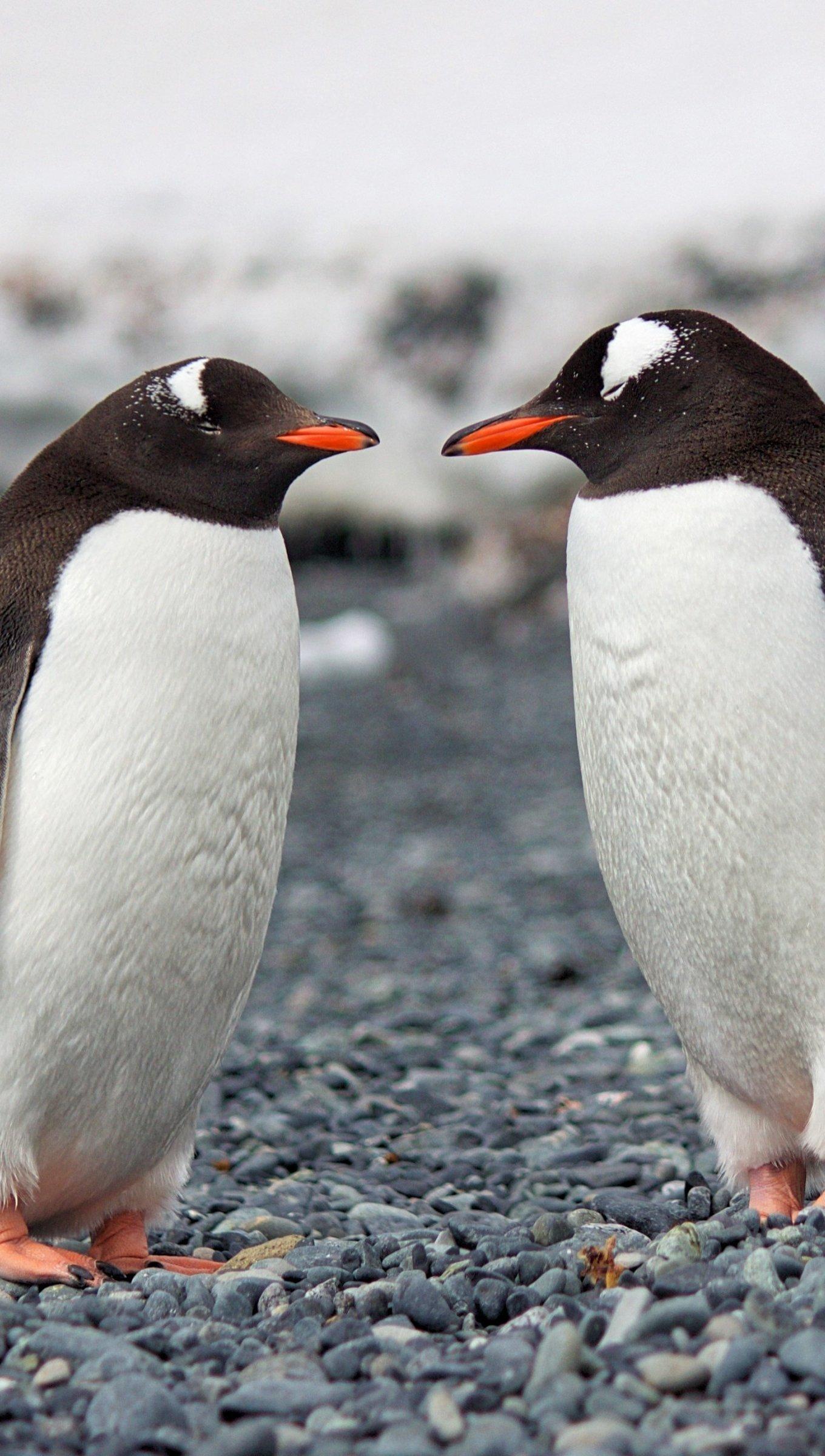 Fondos de pantalla Dos pingüinos Vertical