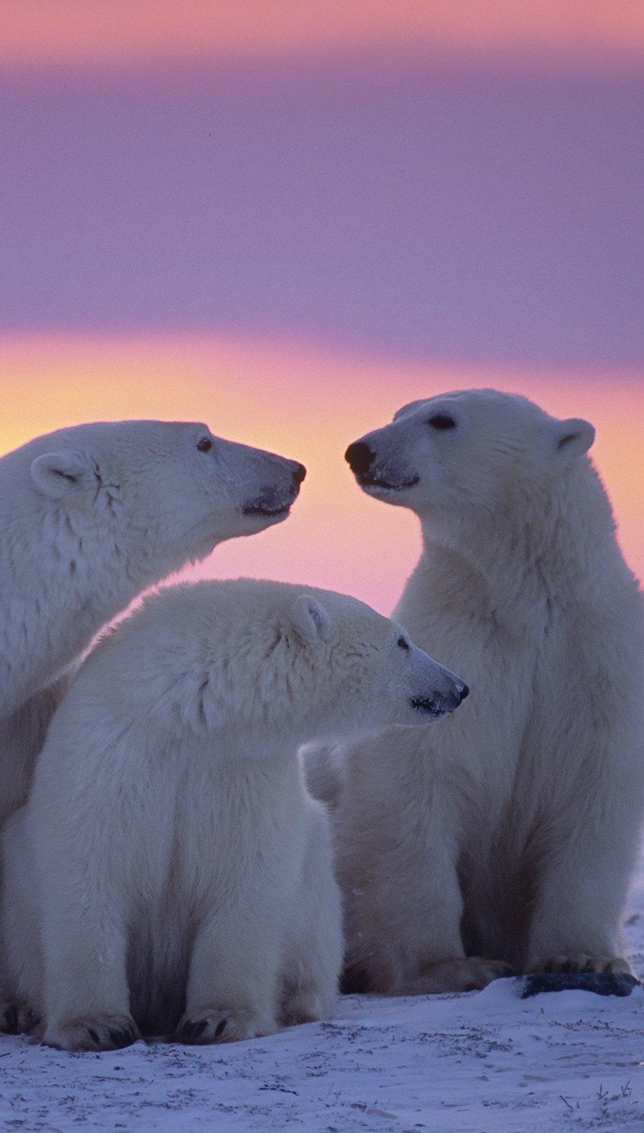 Fondos de pantalla Familia de osos polares Vertical