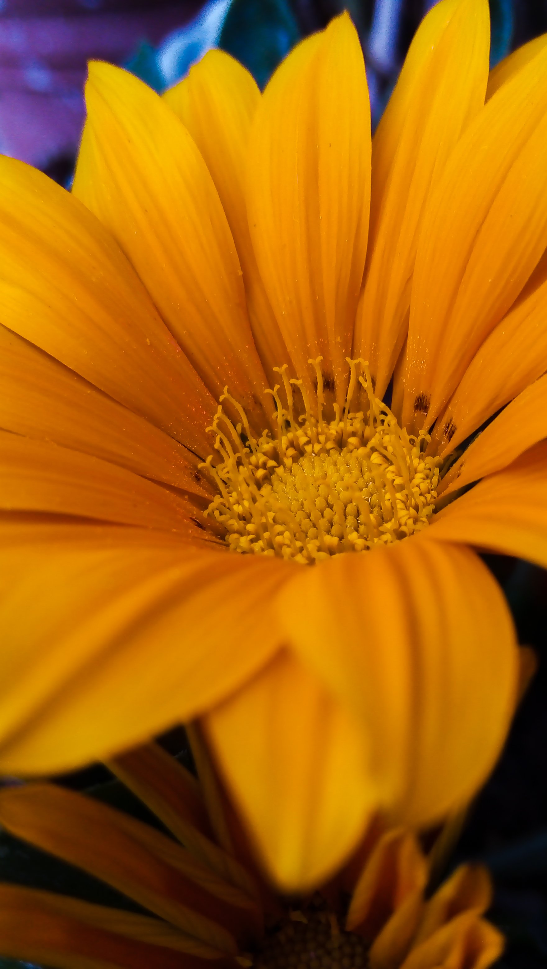 Wallpaper Yellow Gazania Flower Vertical