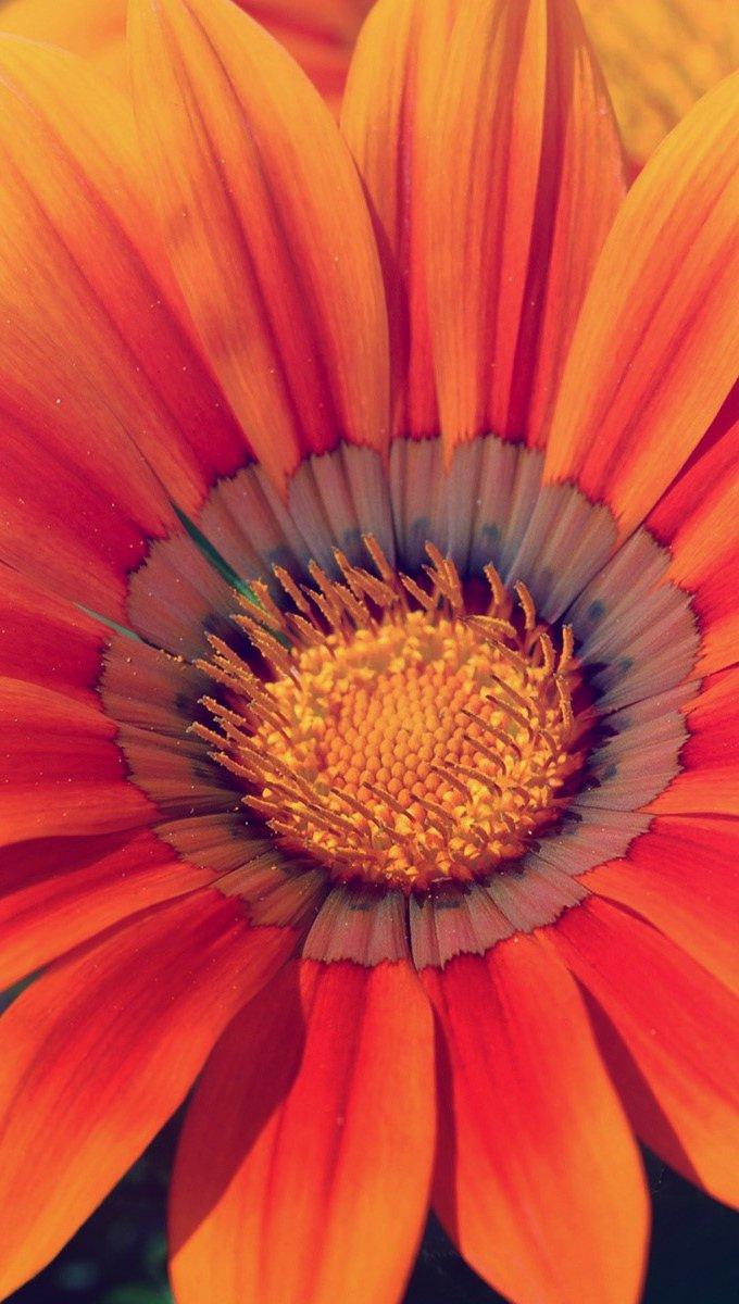 Wallpaper Orange flower Vertical