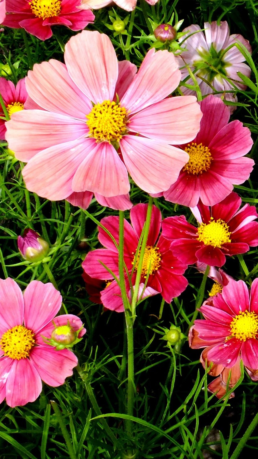 Wallpaper Roses cosmos flowers Vertical
