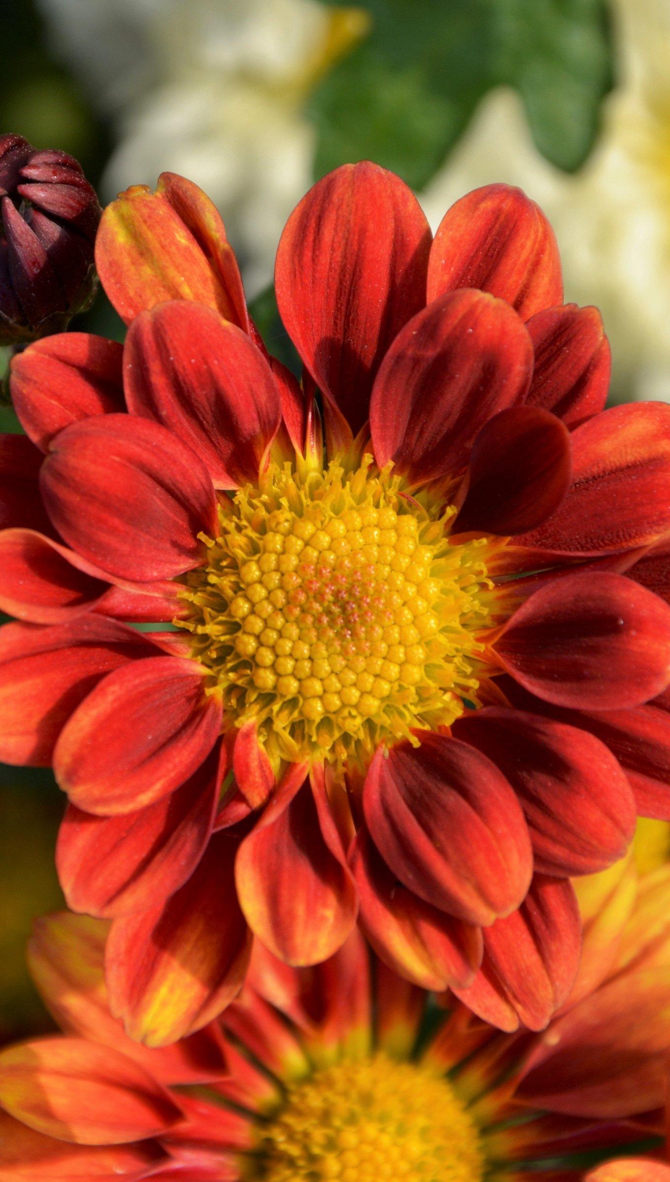 Fondos de pantalla Flores Crisantemos Vertical