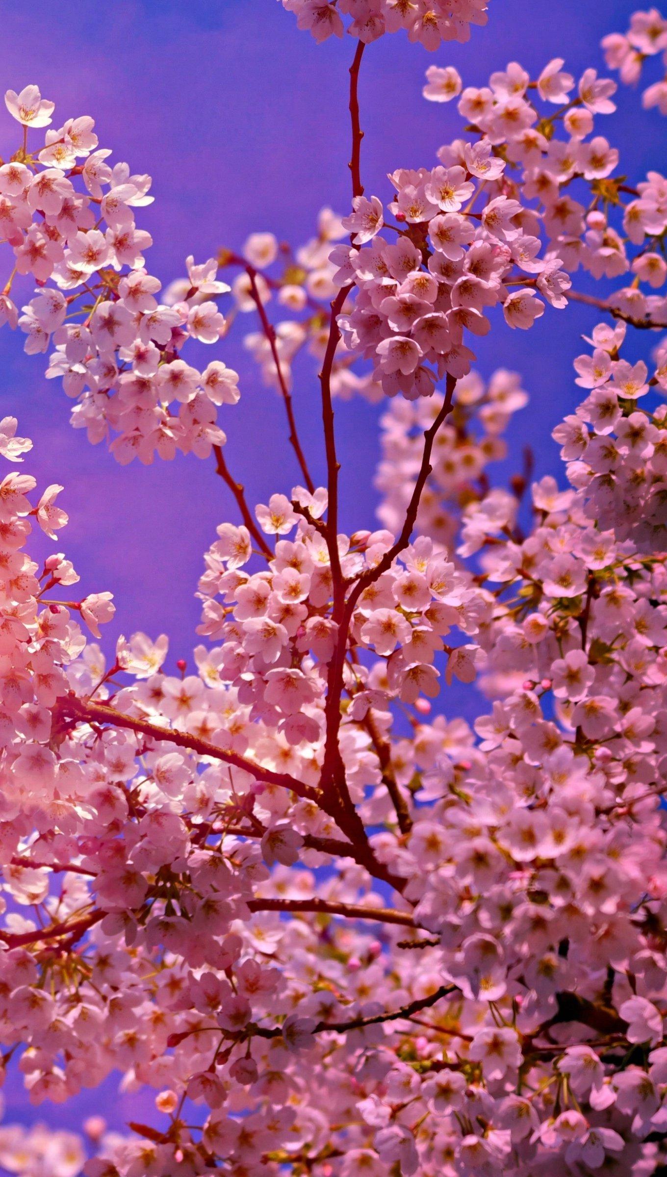 Fondos de pantalla Flores de cerezo Vertical