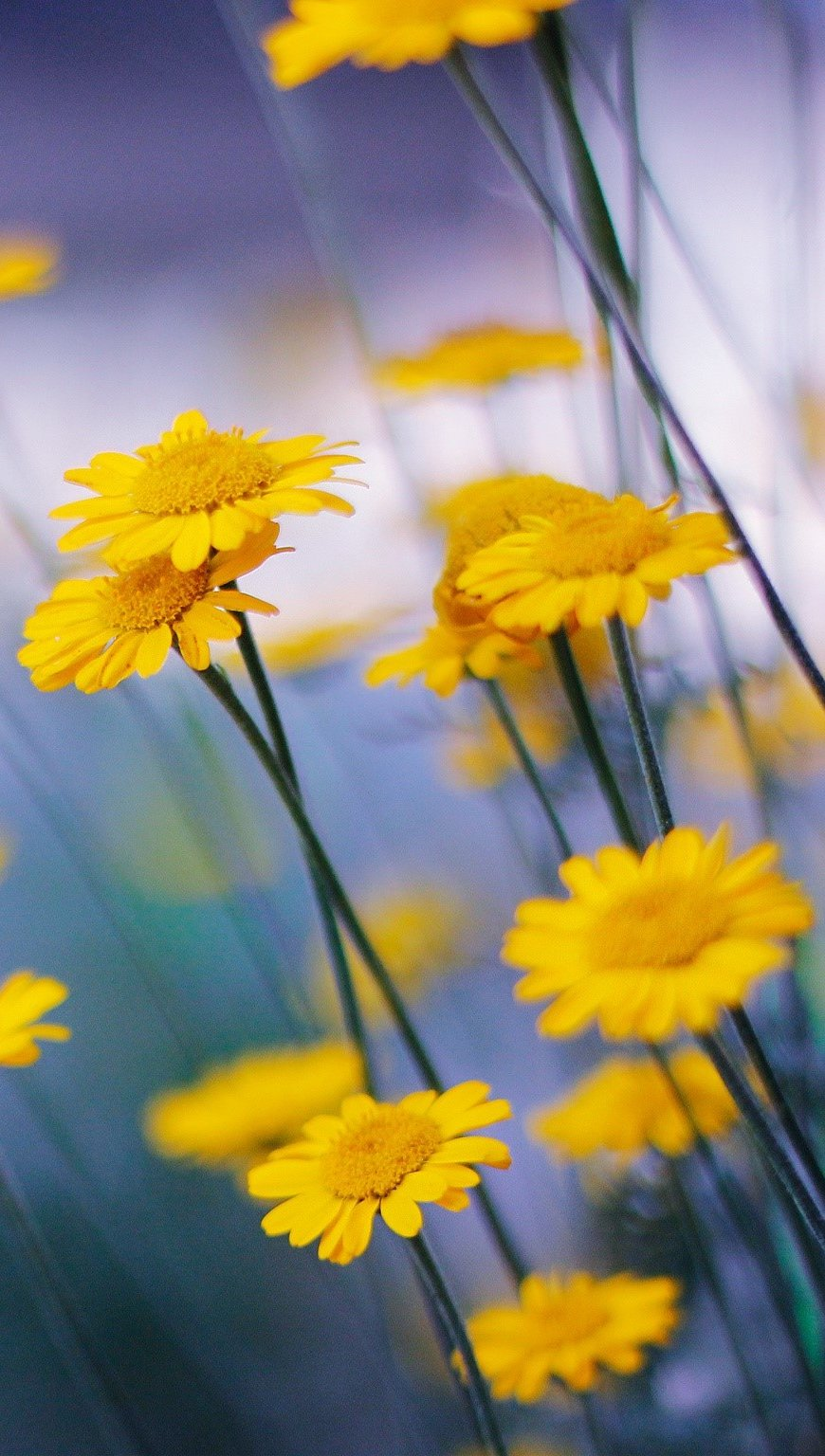 Wallpaper Chamomile flowers Vertical
