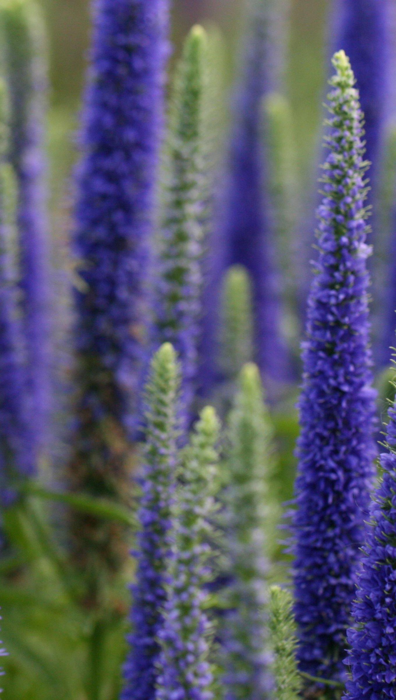 Wallpaper Lupine flowers in field Vertical