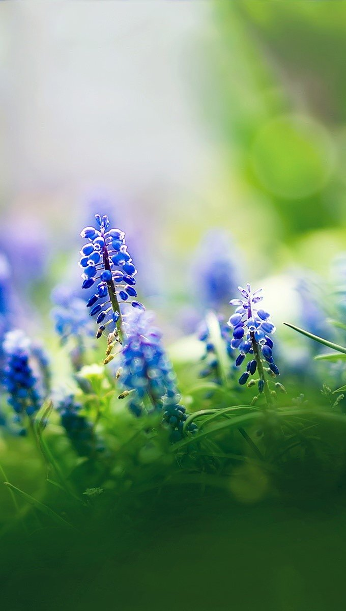 Wallpaper Muscari flowers Vertical