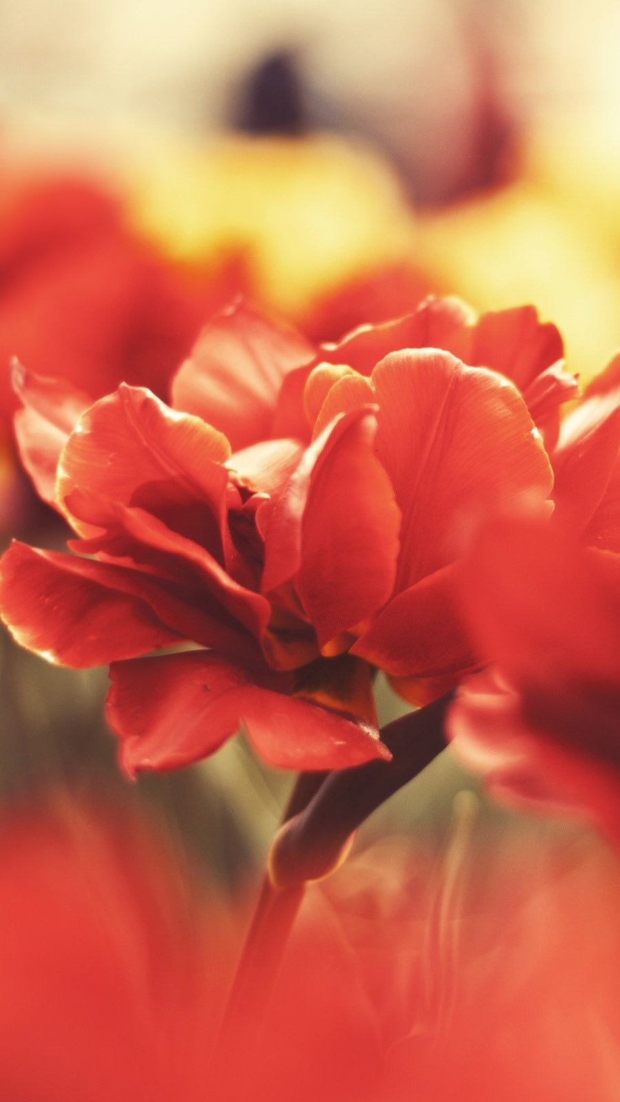 Wallpaper Red and yellow flowers Vertical