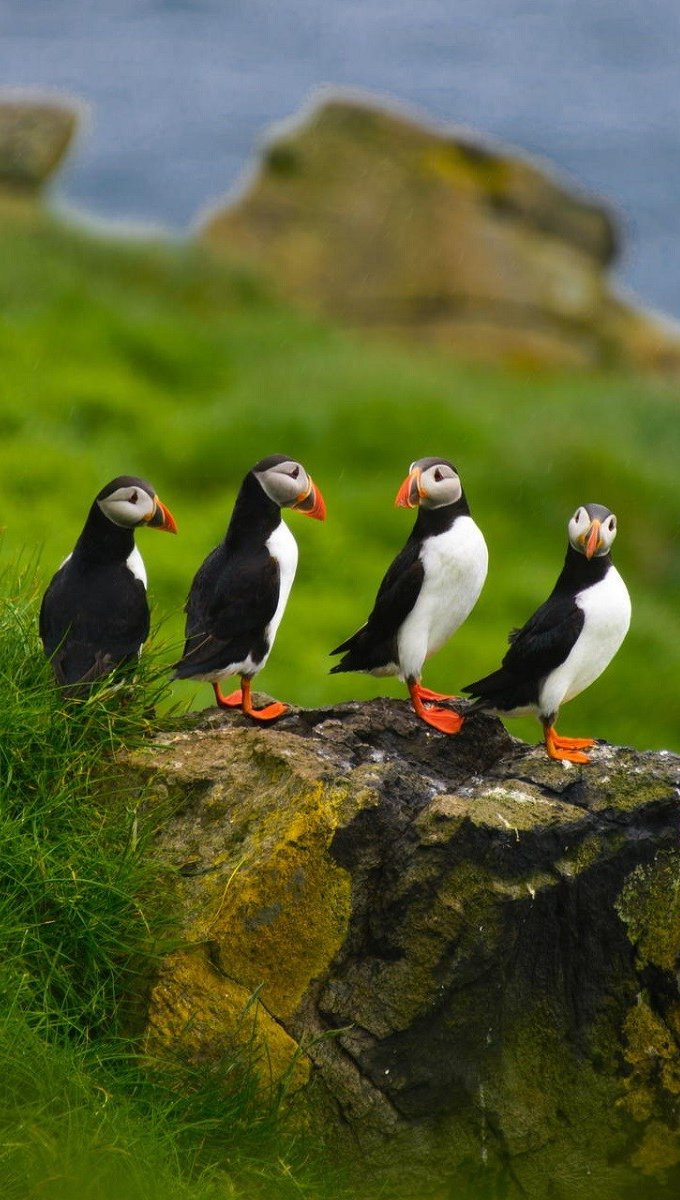 Wallpaper Group of puffins Vertical