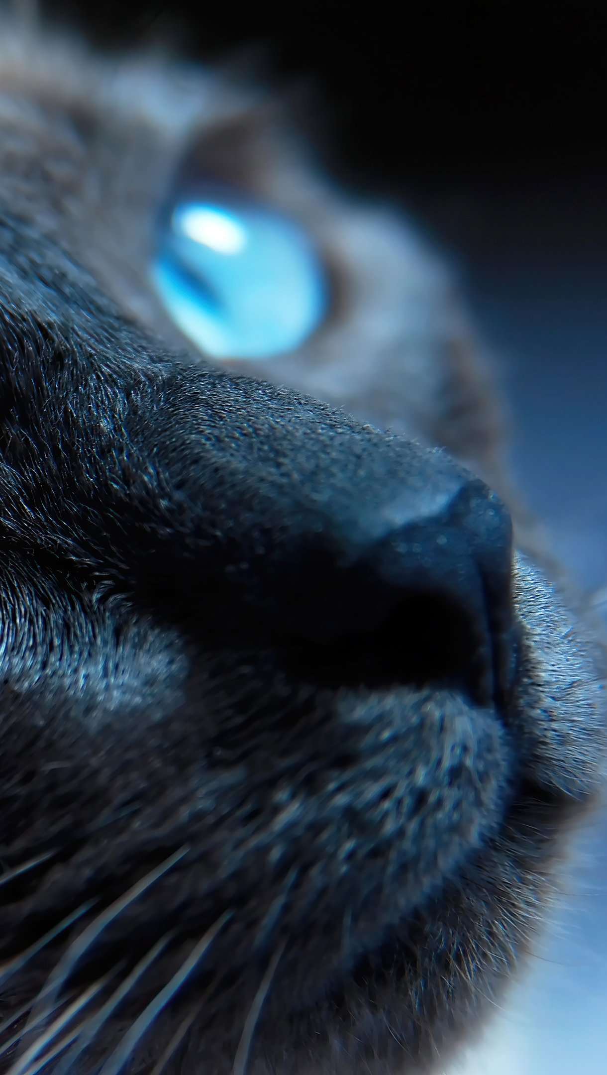 Fondos de pantalla Gato con ojos azules Vertical