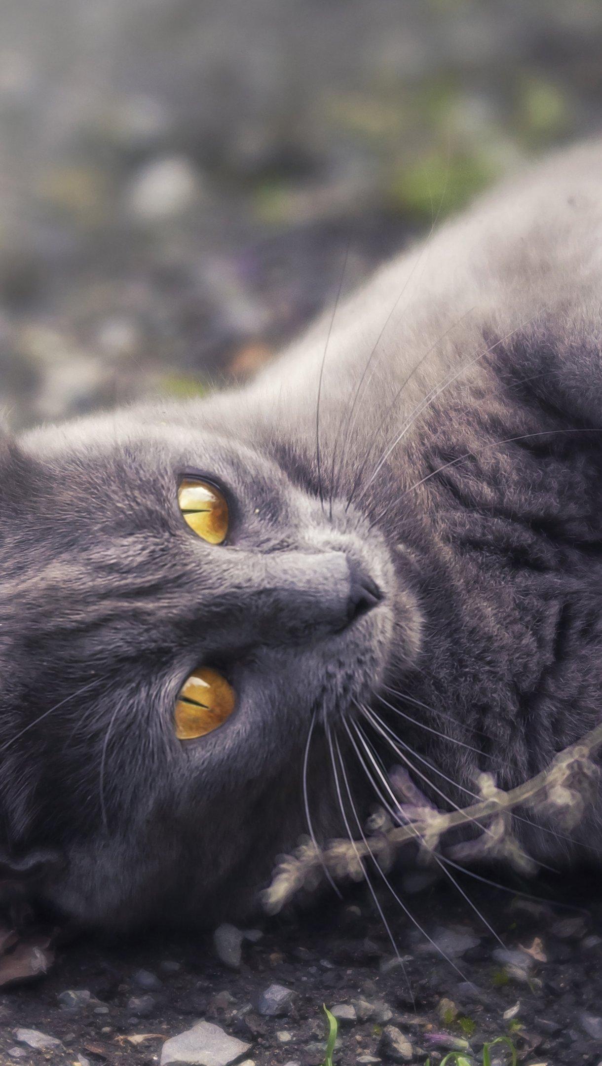 Fondos de pantalla Gato gris Vertical