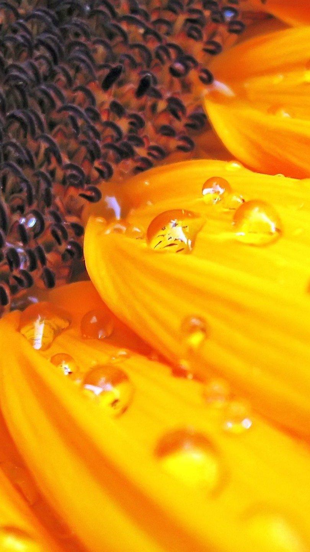Wallpaper Sunflower Vertical