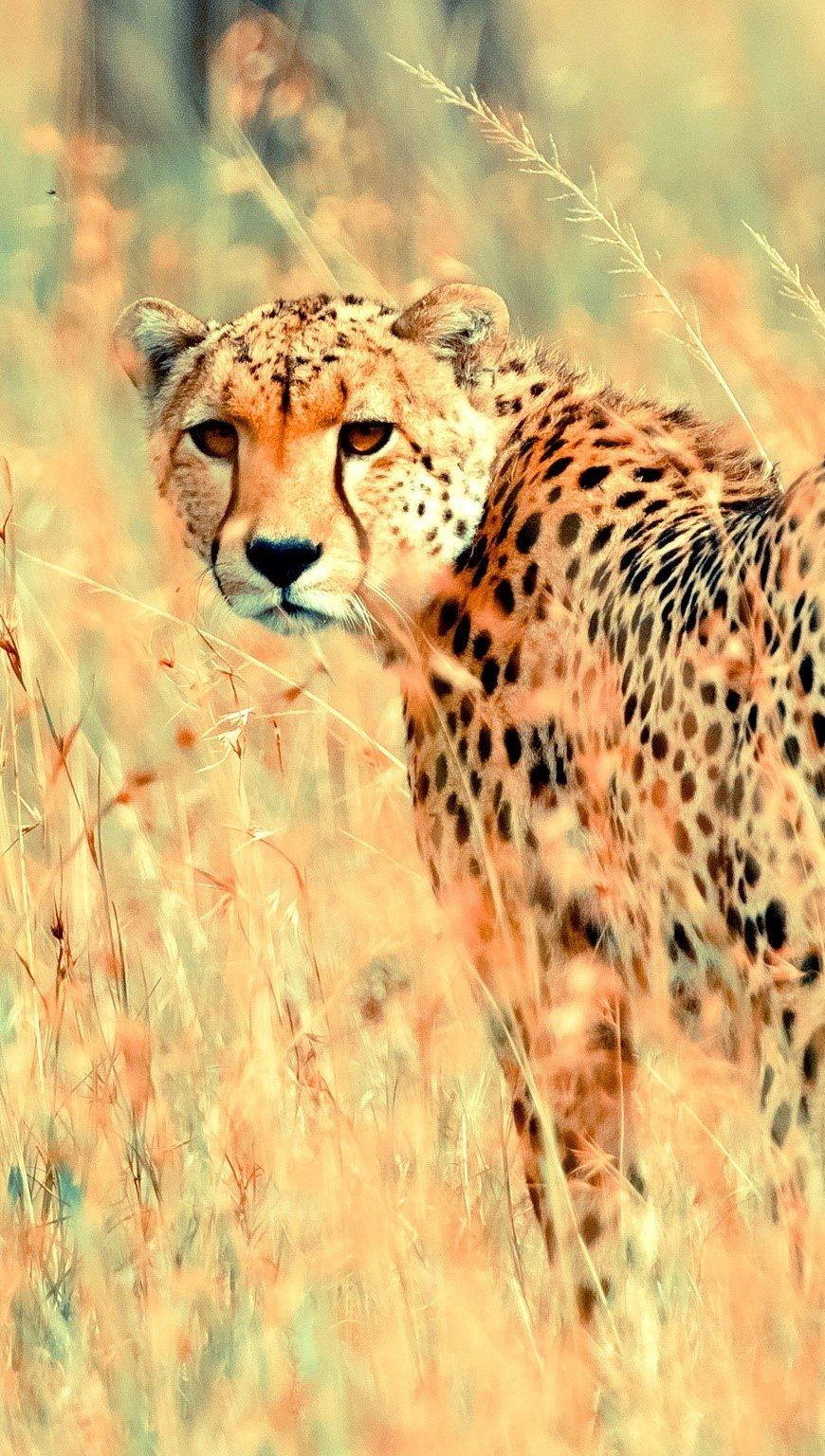 Wallpaper Beautiful Cheetah Vertical
