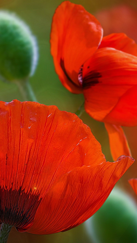 Wallpaper Garden of red flowers Vertical