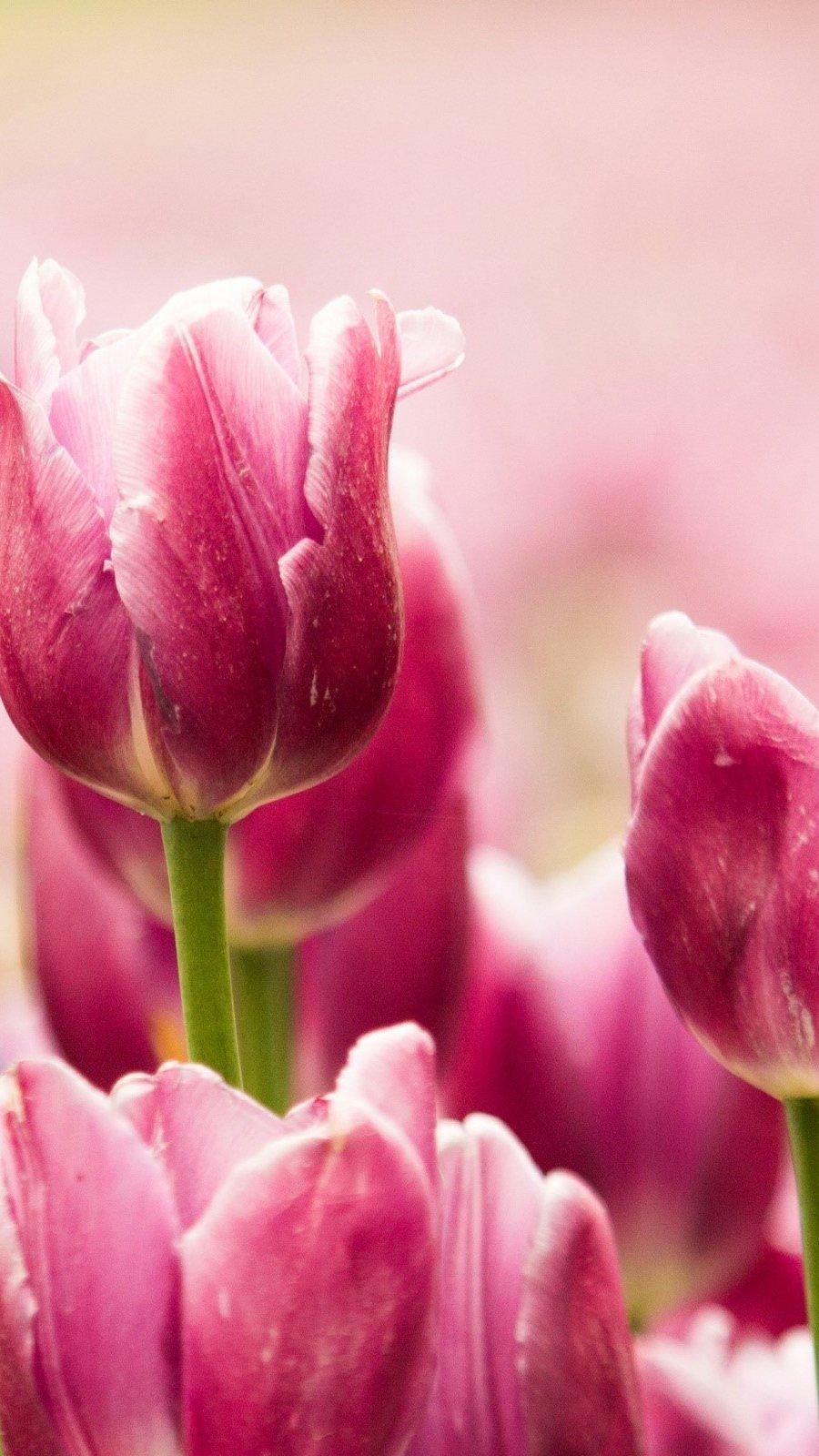 Wallpaper Garden of pink tulips Vertical