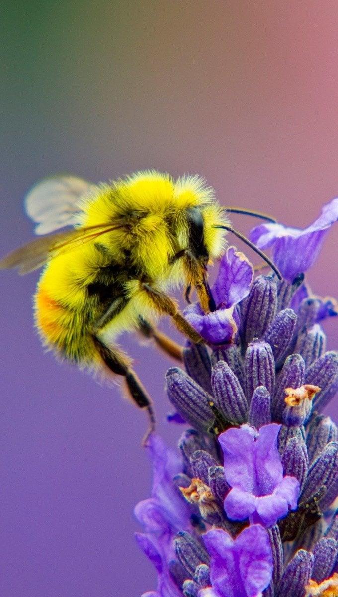 Fondos de pantalla Lavanda y una abeja Vertical