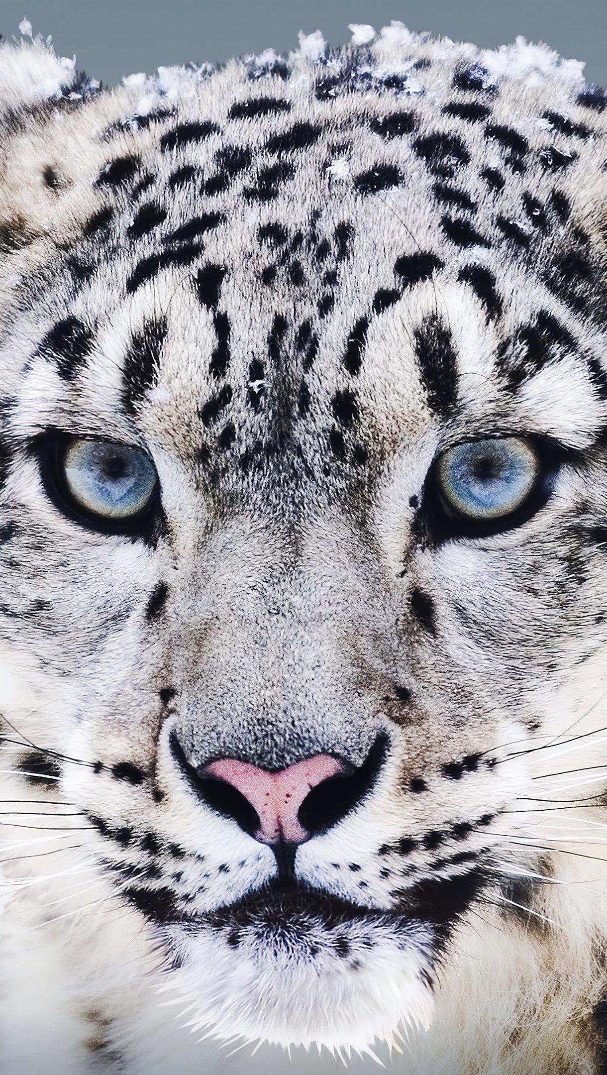 Fondos de pantalla Leopardo blanco en la nieve Vertical
