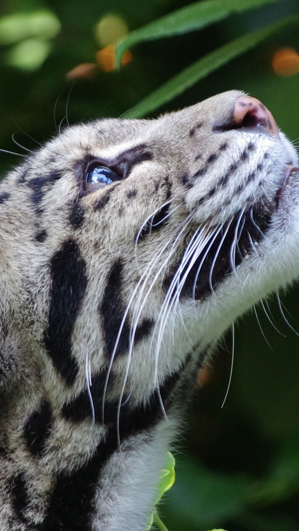 Wallpaper White leopard looking up Vertical