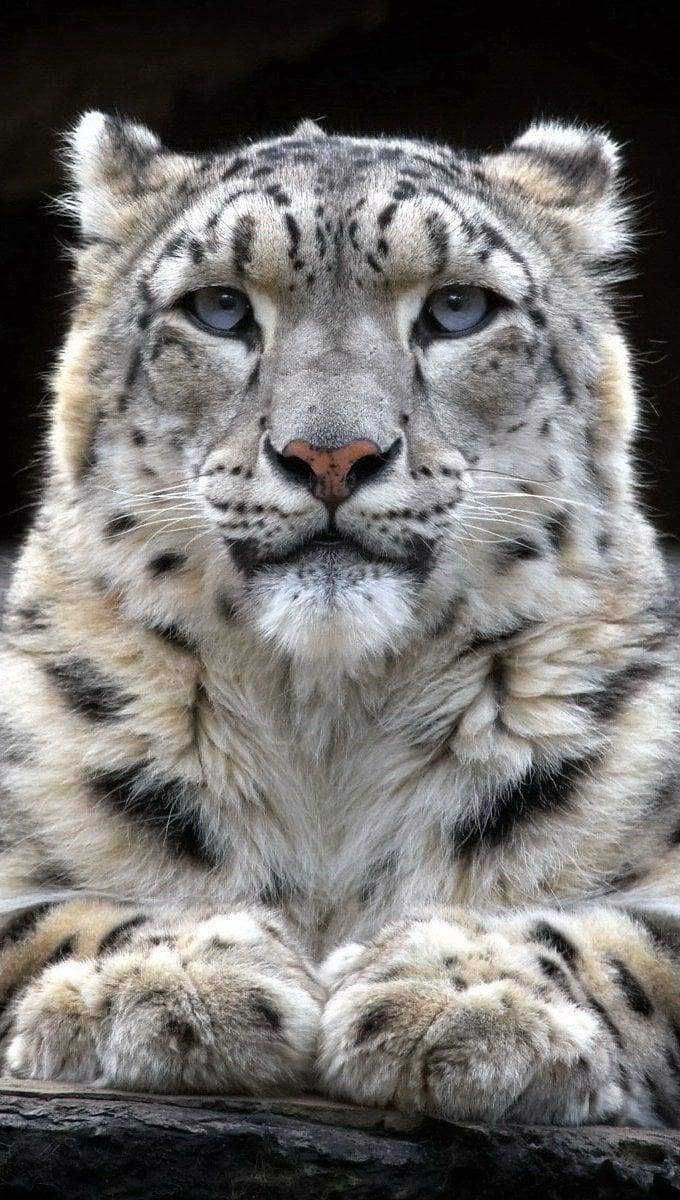 Fondos de pantalla Leopardo de las nieves Vertical