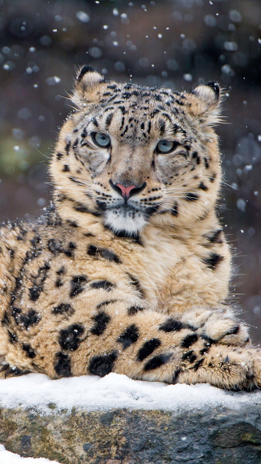 Wallpaper Leopard in the snow Vertical