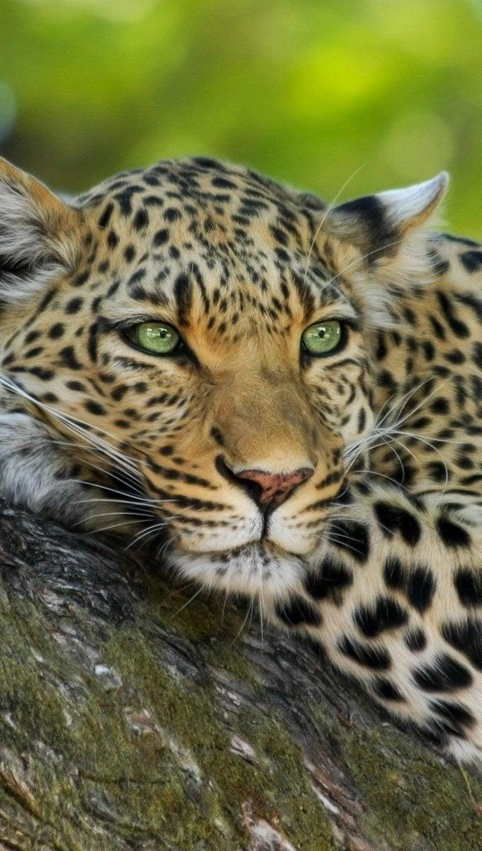 Fondos de pantalla Leopardo en un arbol Vertical