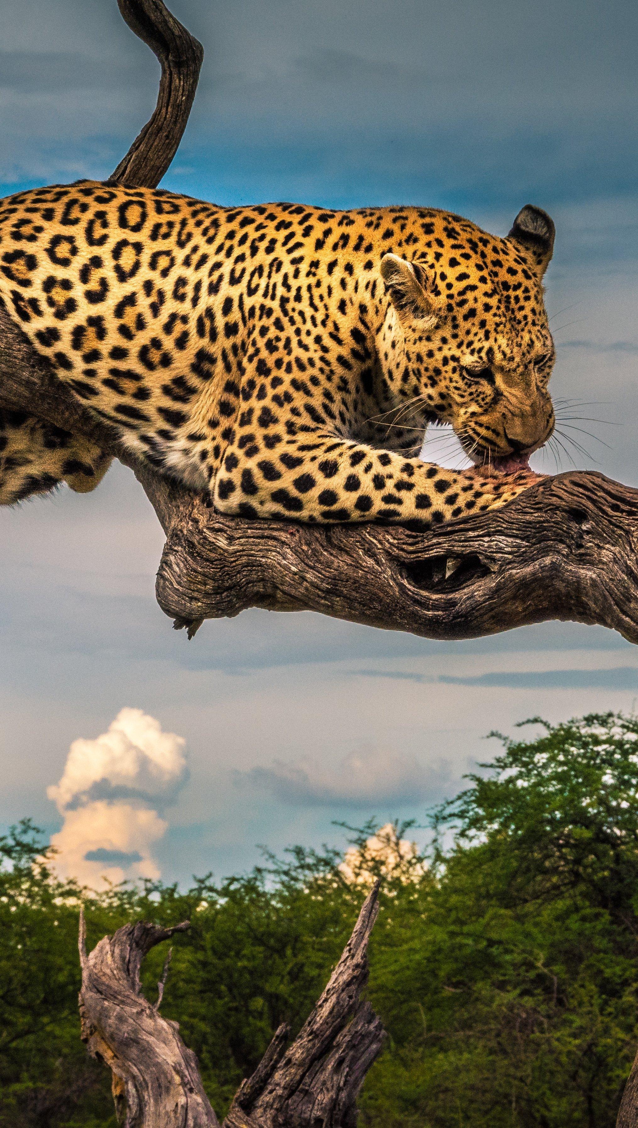 Fondos de pantalla Leopardo lamiendo su pata Vertical