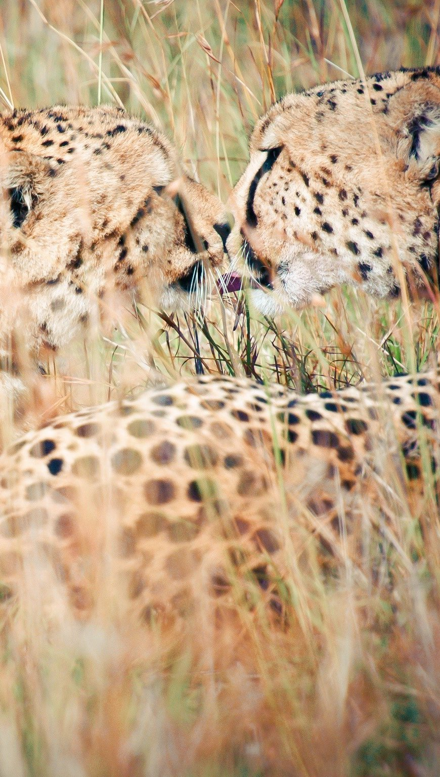 Wallpaper Leopards in grass Vertical