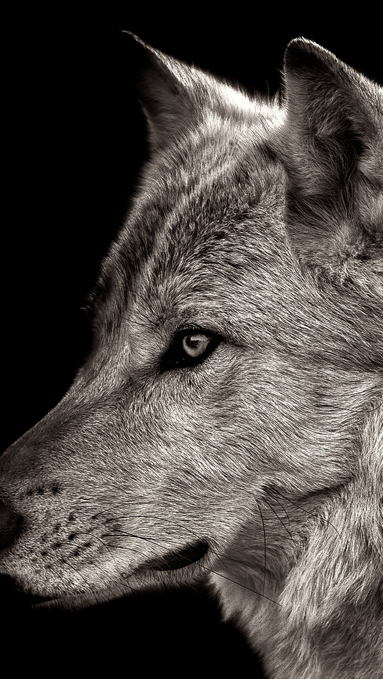 Wallpaper Wolf on black background Vertical