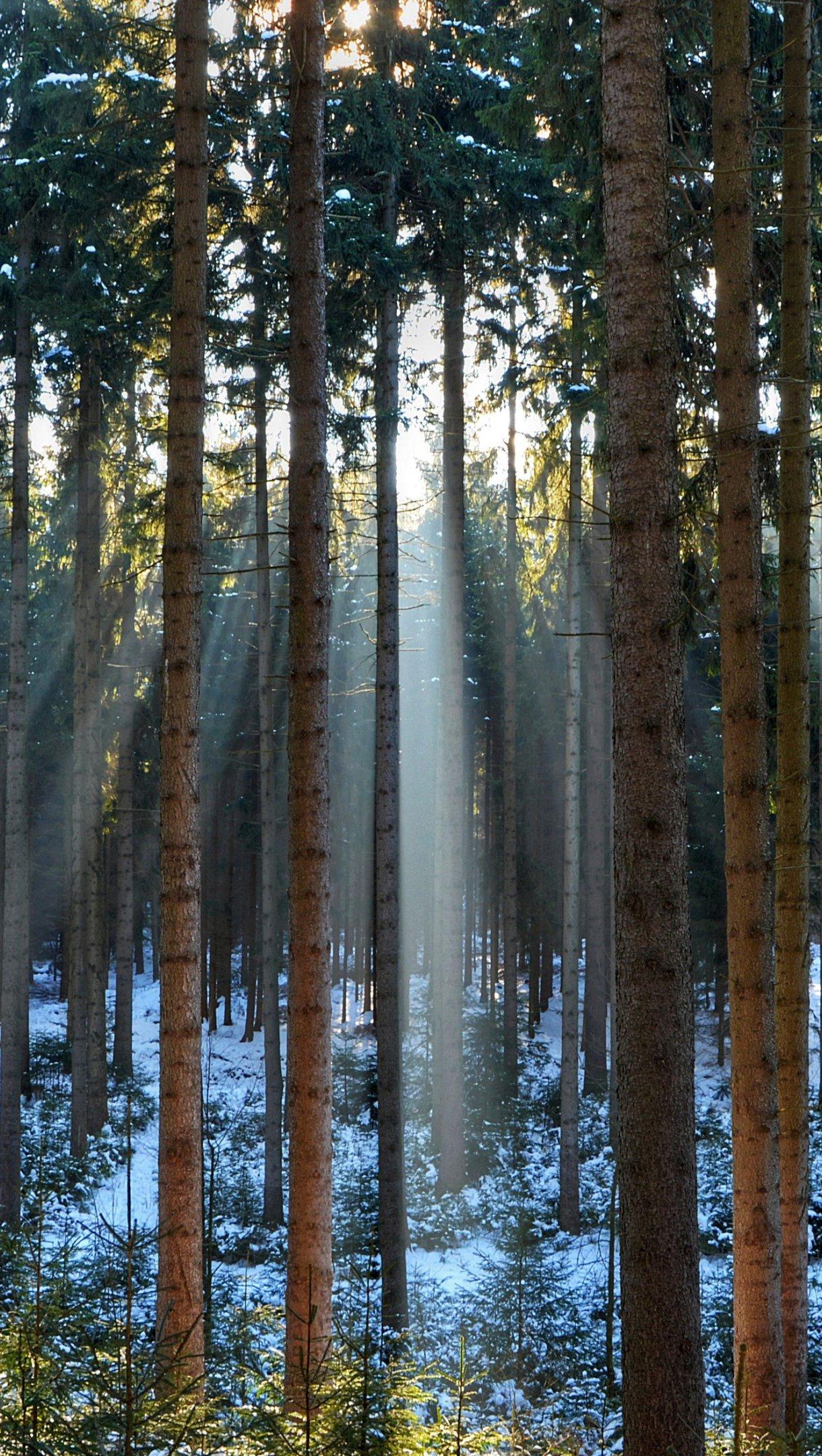 Fondos de pantalla Luz del sol a través de pinos en el bosque Vertical