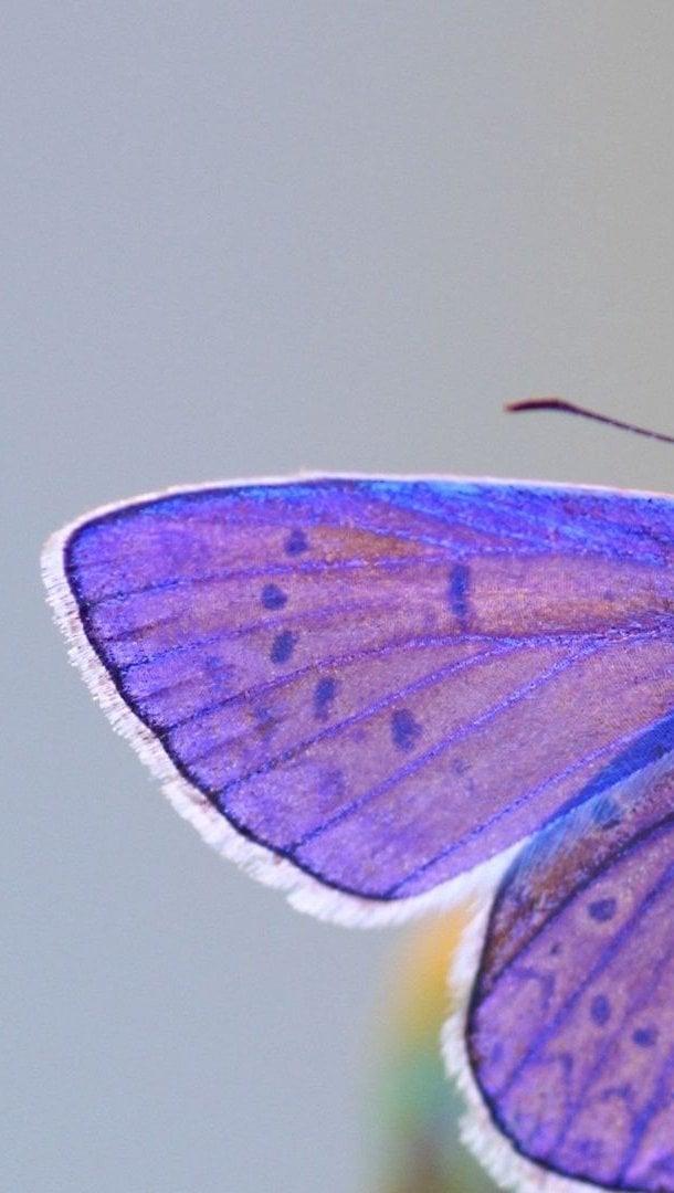 Fondos de pantalla Mariposa con alas moradas Vertical