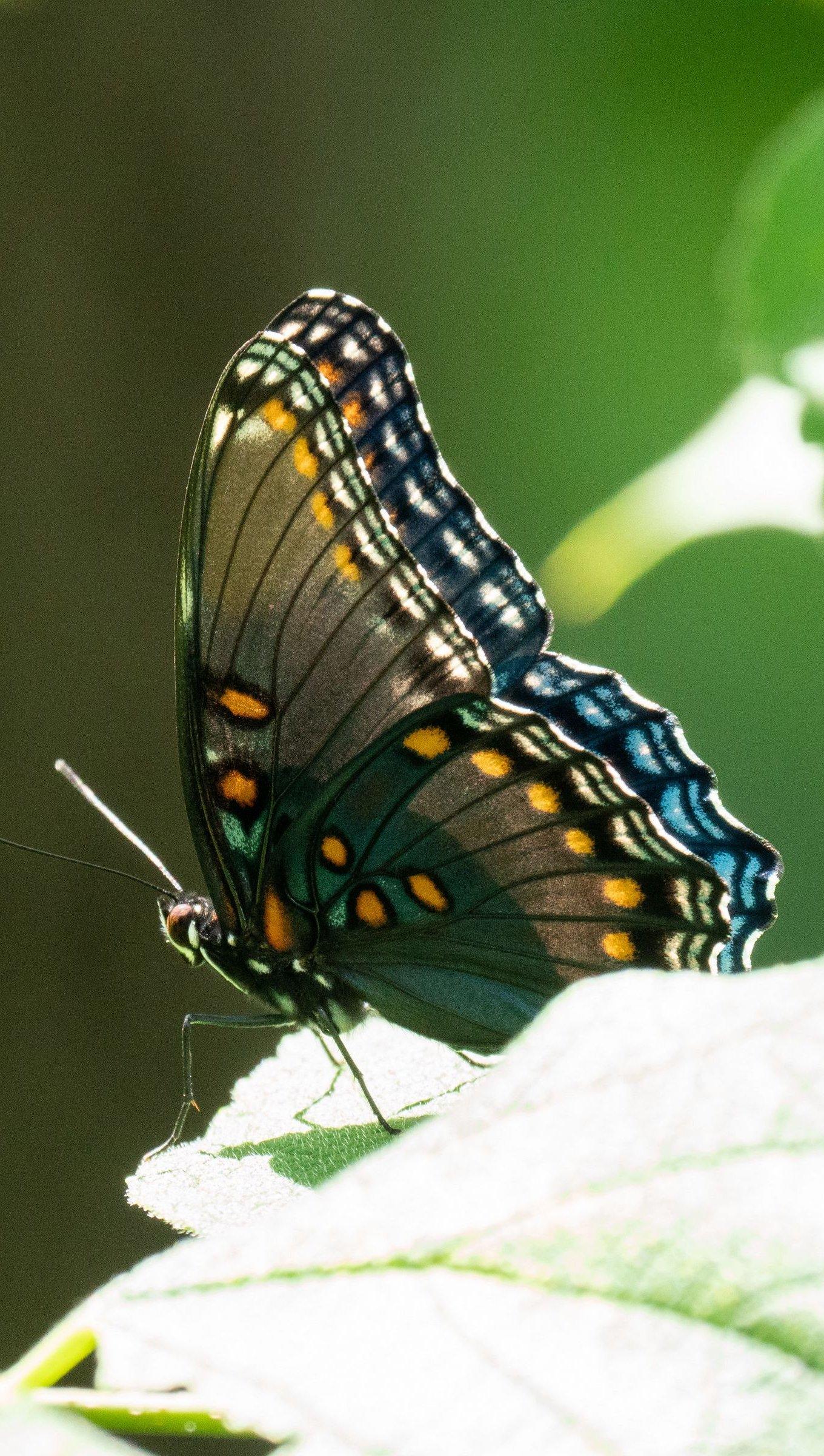 Fondos de pantalla Mariposa con alas tropicales Vertical