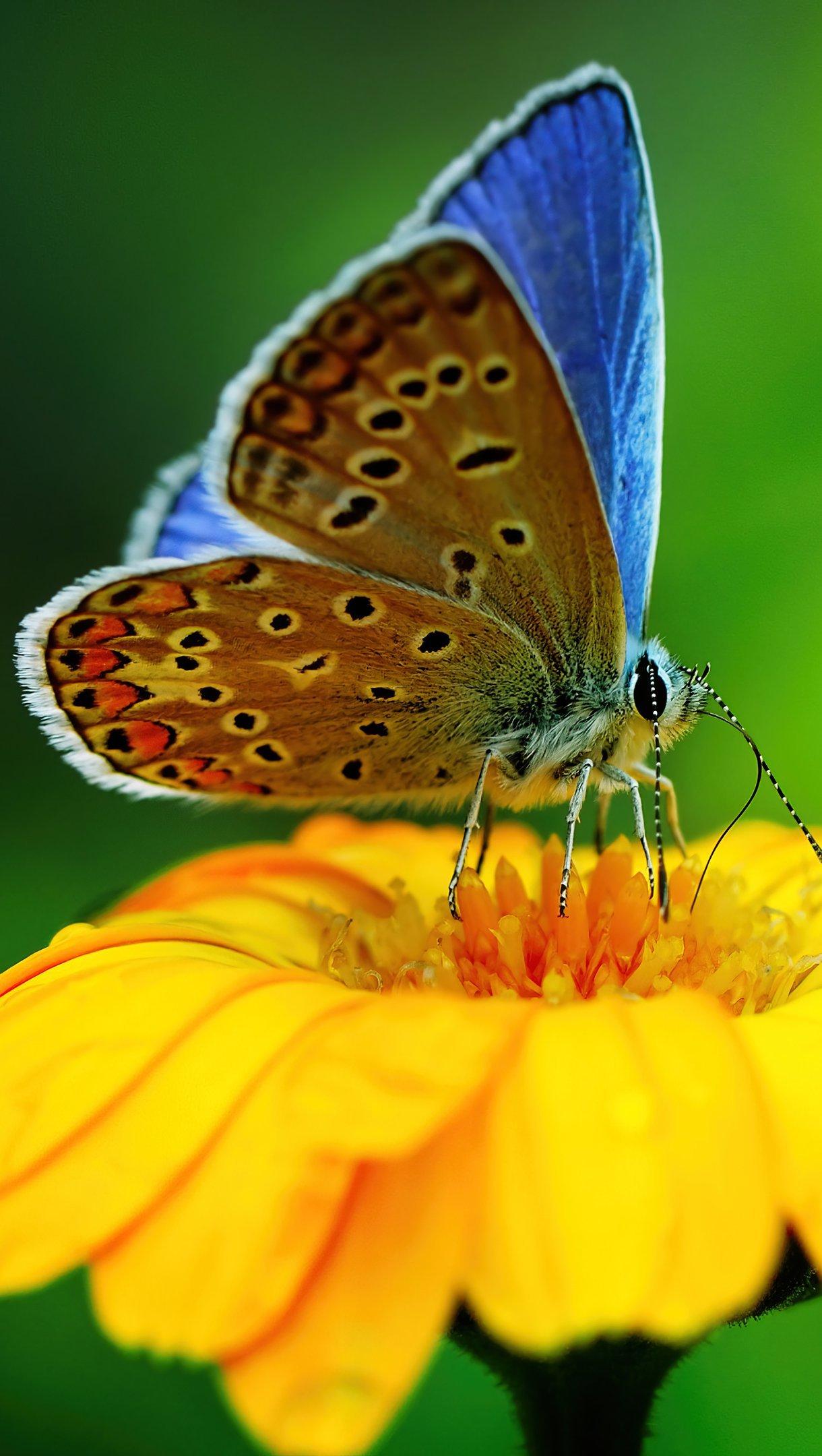 Fondos de pantalla Mariposa sobre flor amarilla Vertical